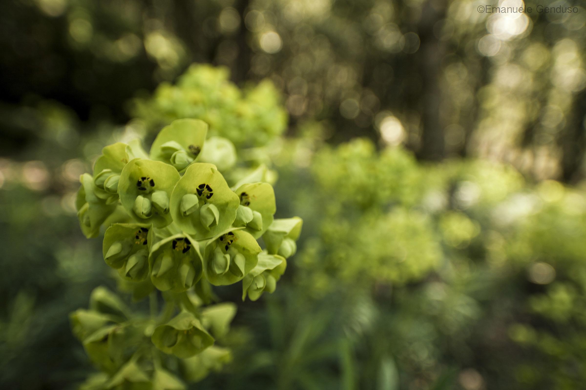 Euphorbia in the undergrowth...