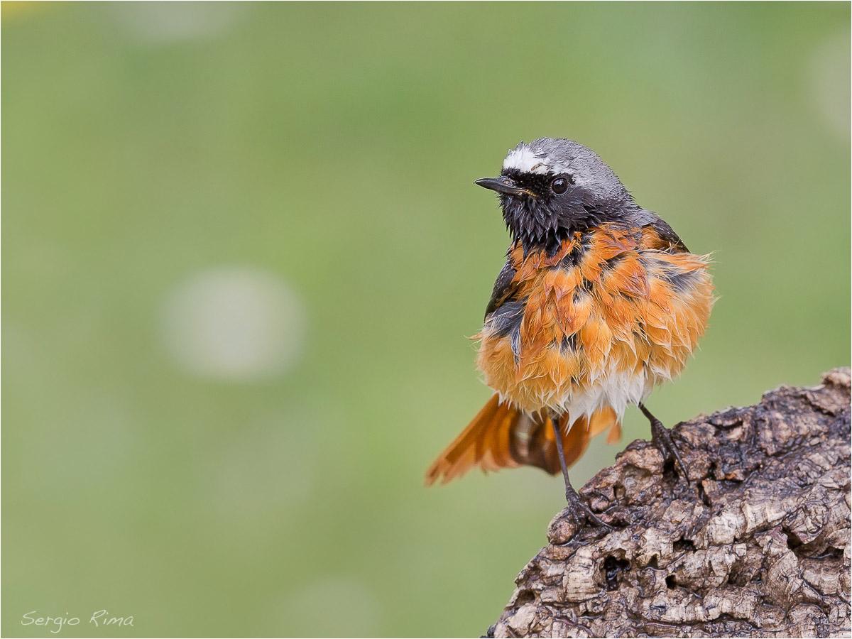 common Redstart...