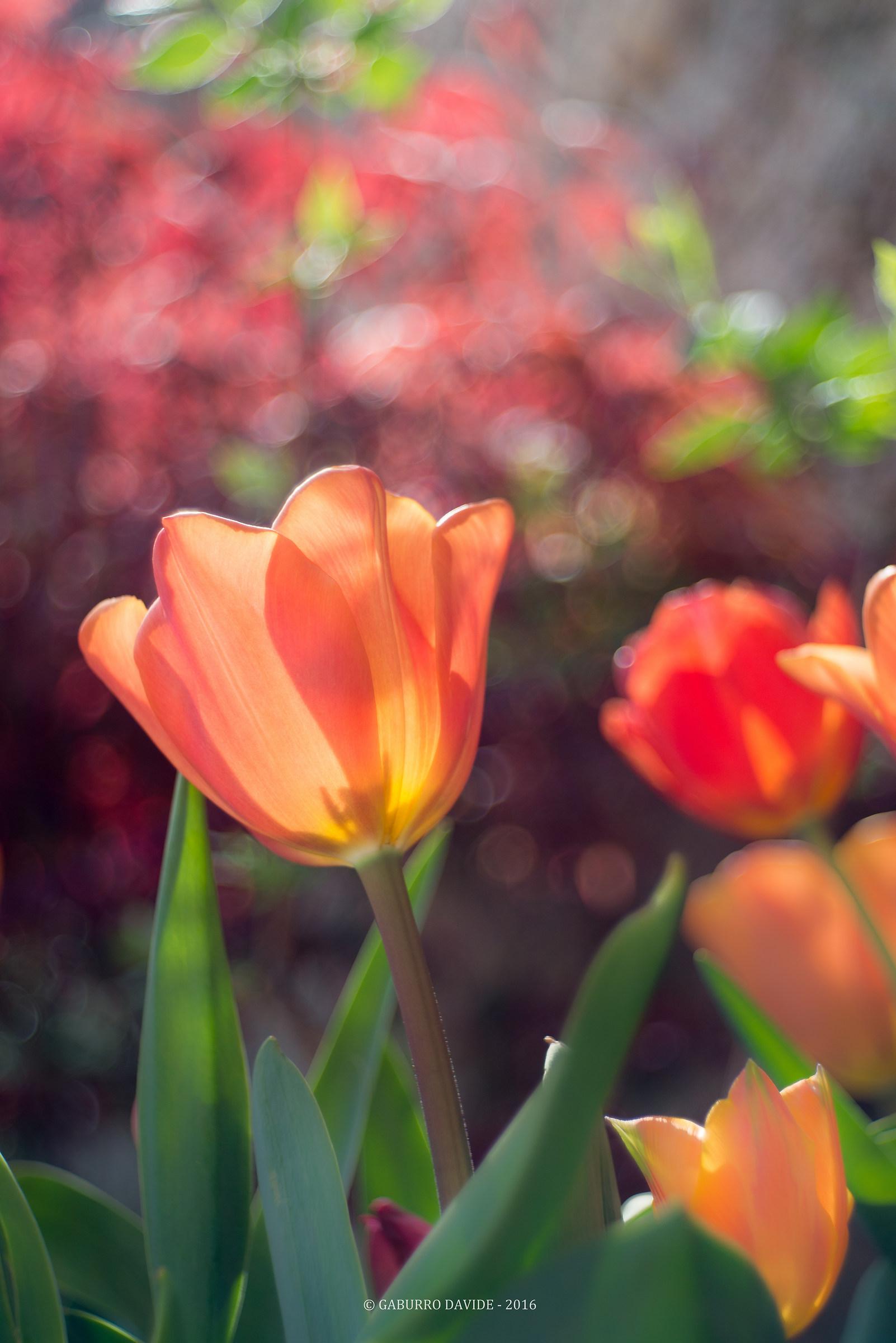 Tulipani1...