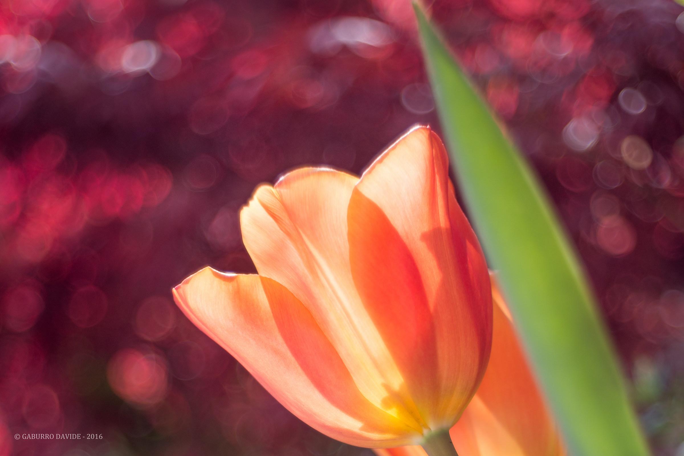 Tulipani2...