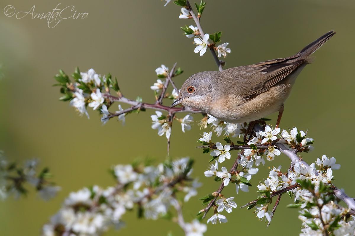 Subalpine warbler female?...
