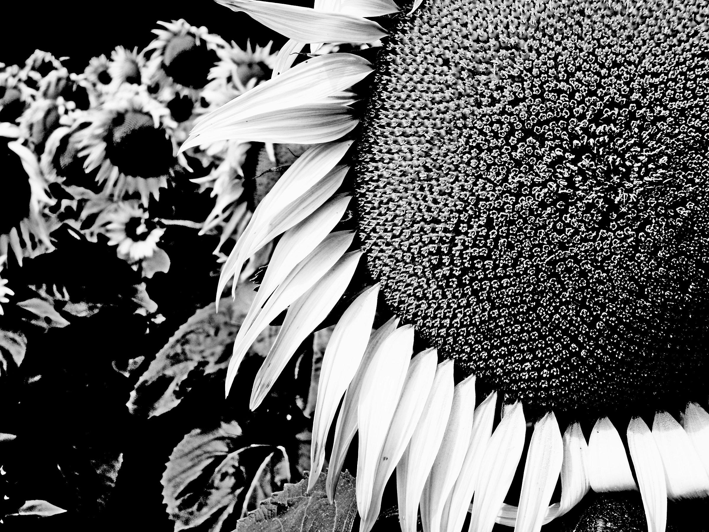 Impact of Sunflower...