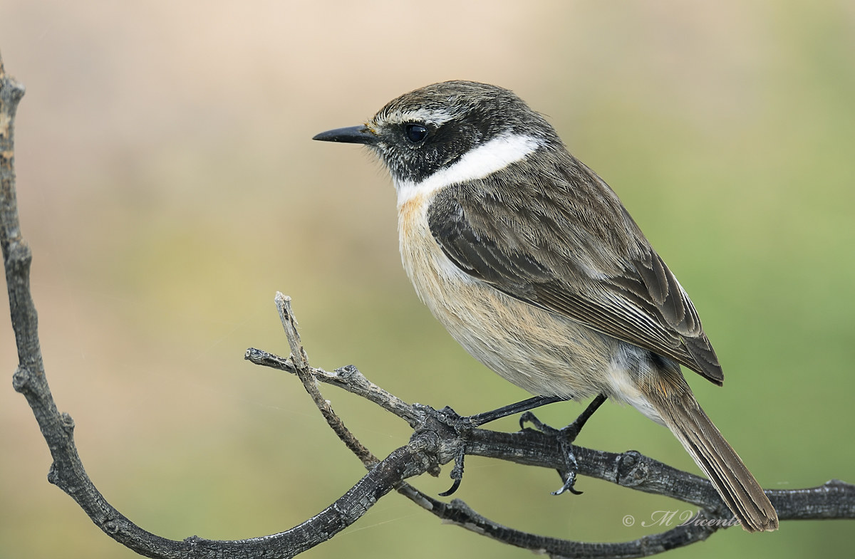 Isole Canarie stonechat...