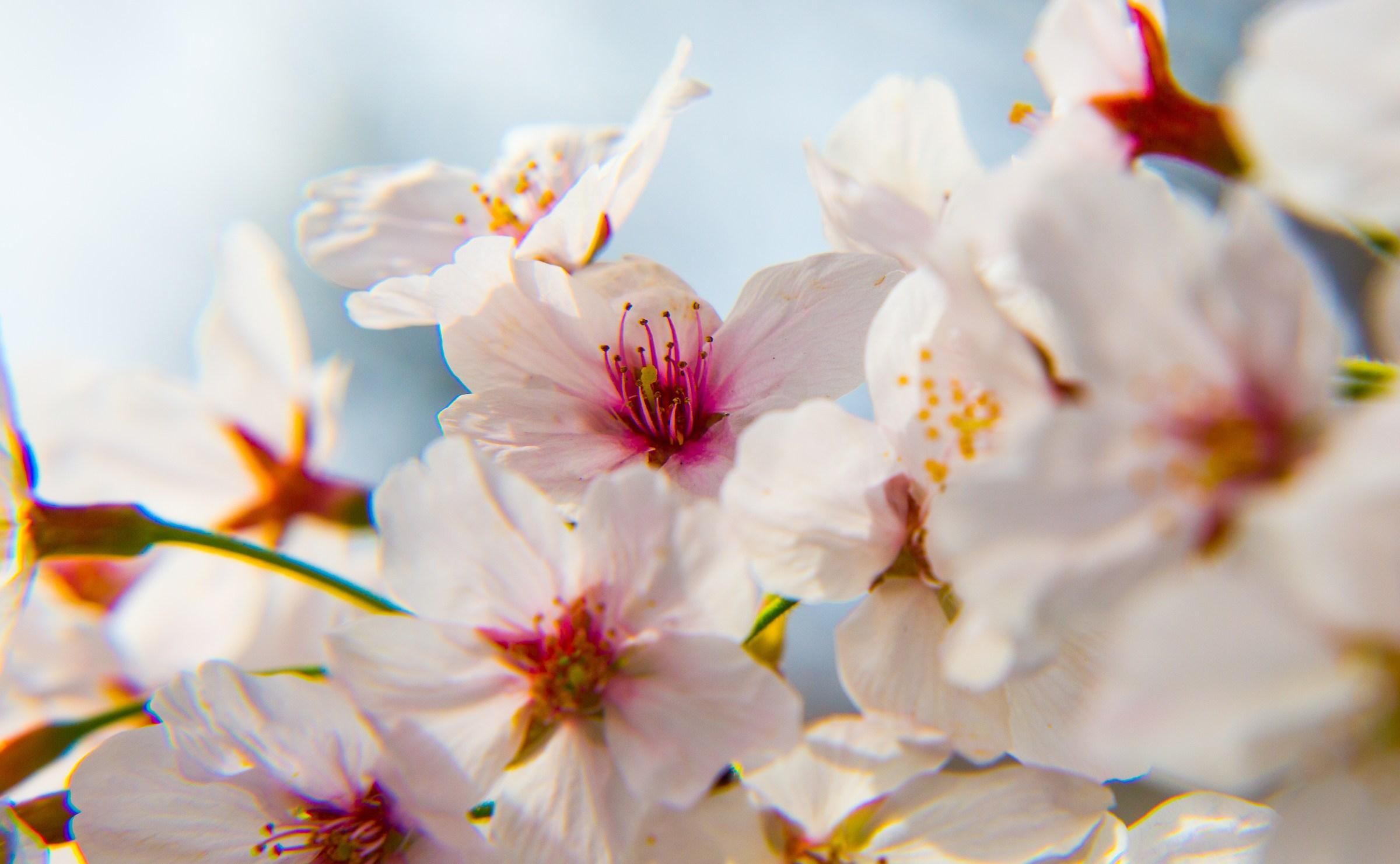 Sakura Kyoto...