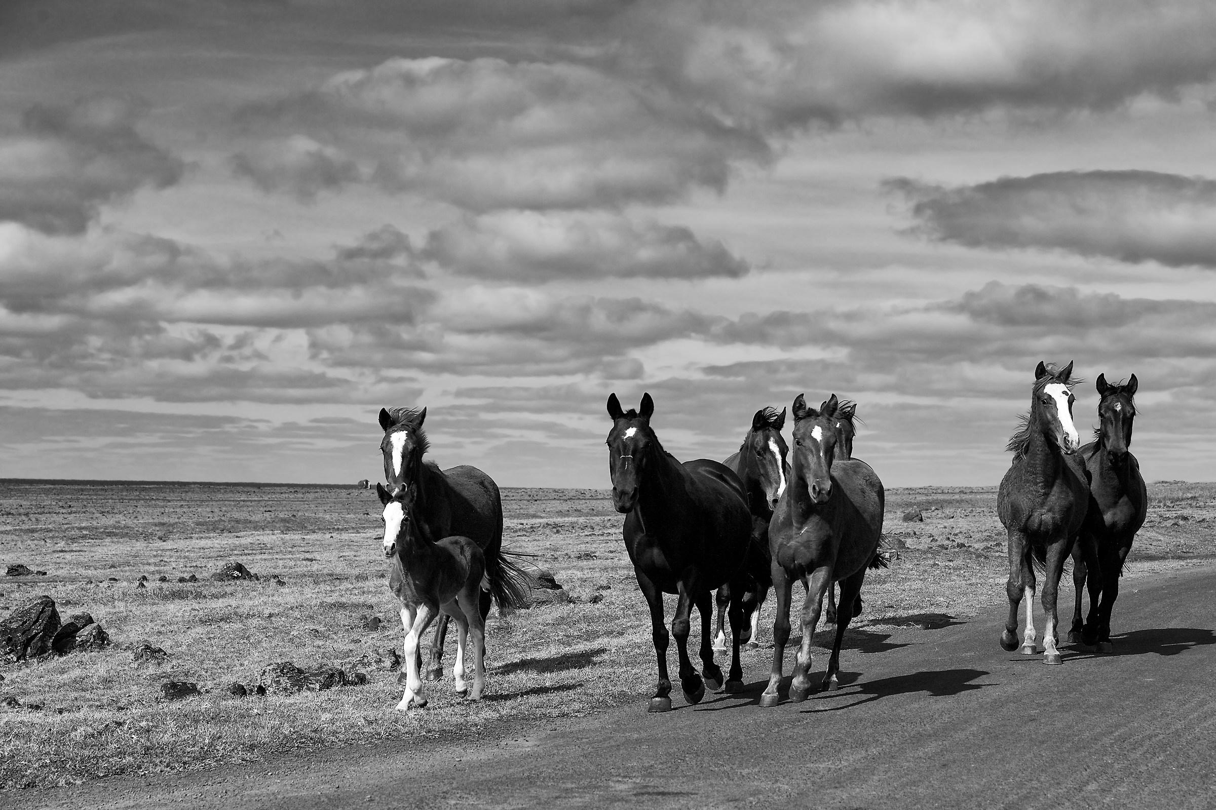 Wild horses Easter Island...