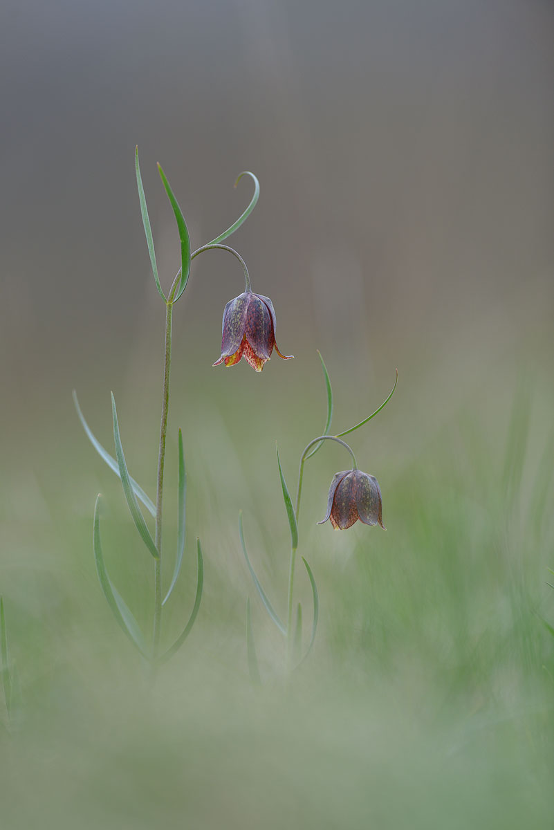 Fritillaria....
