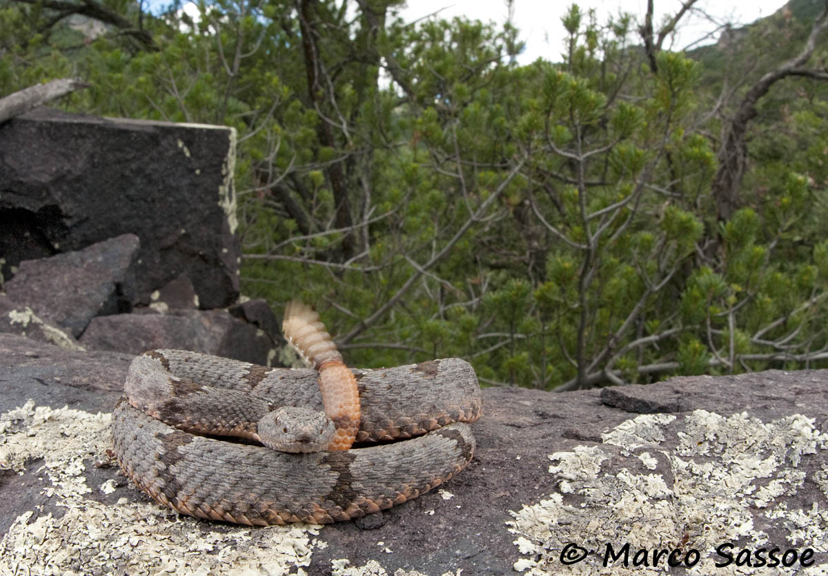 Crotalus lepidus klauberi - Arizona...