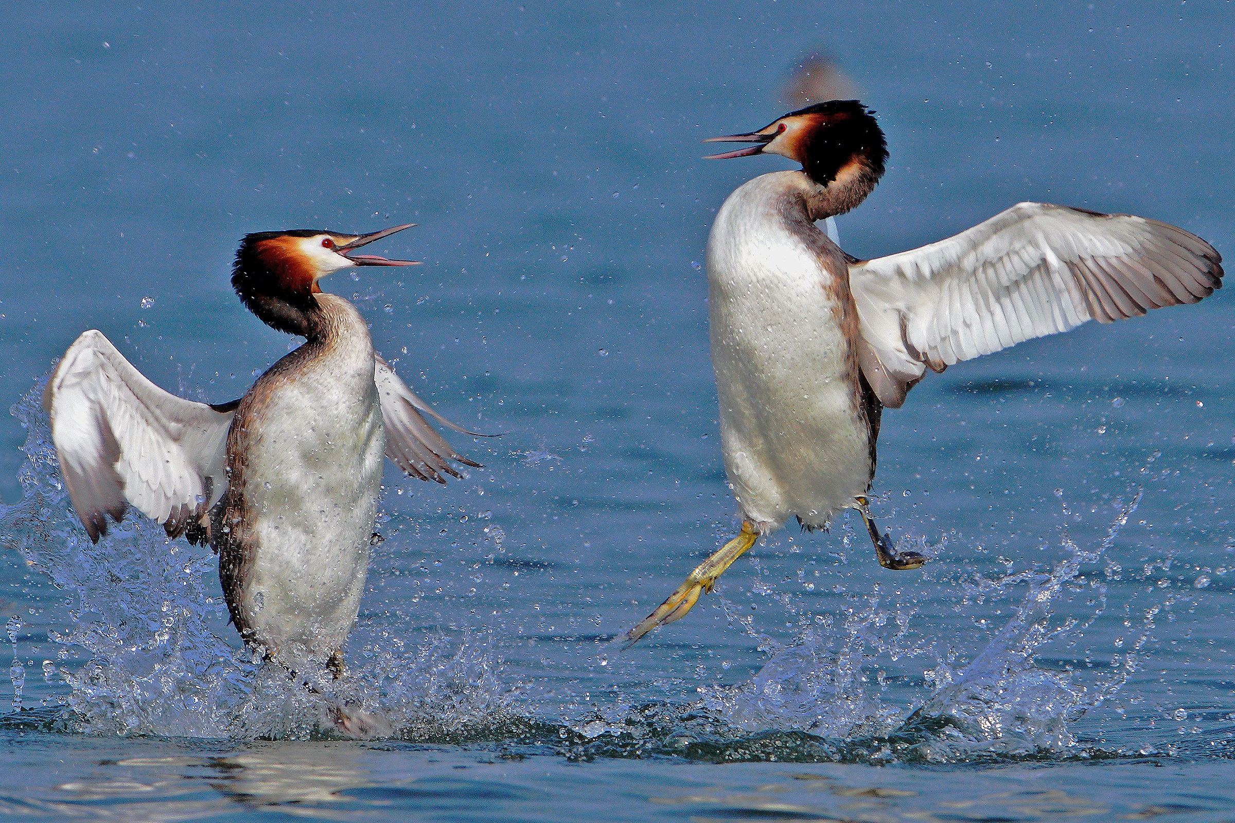 aerial fight between grebes...