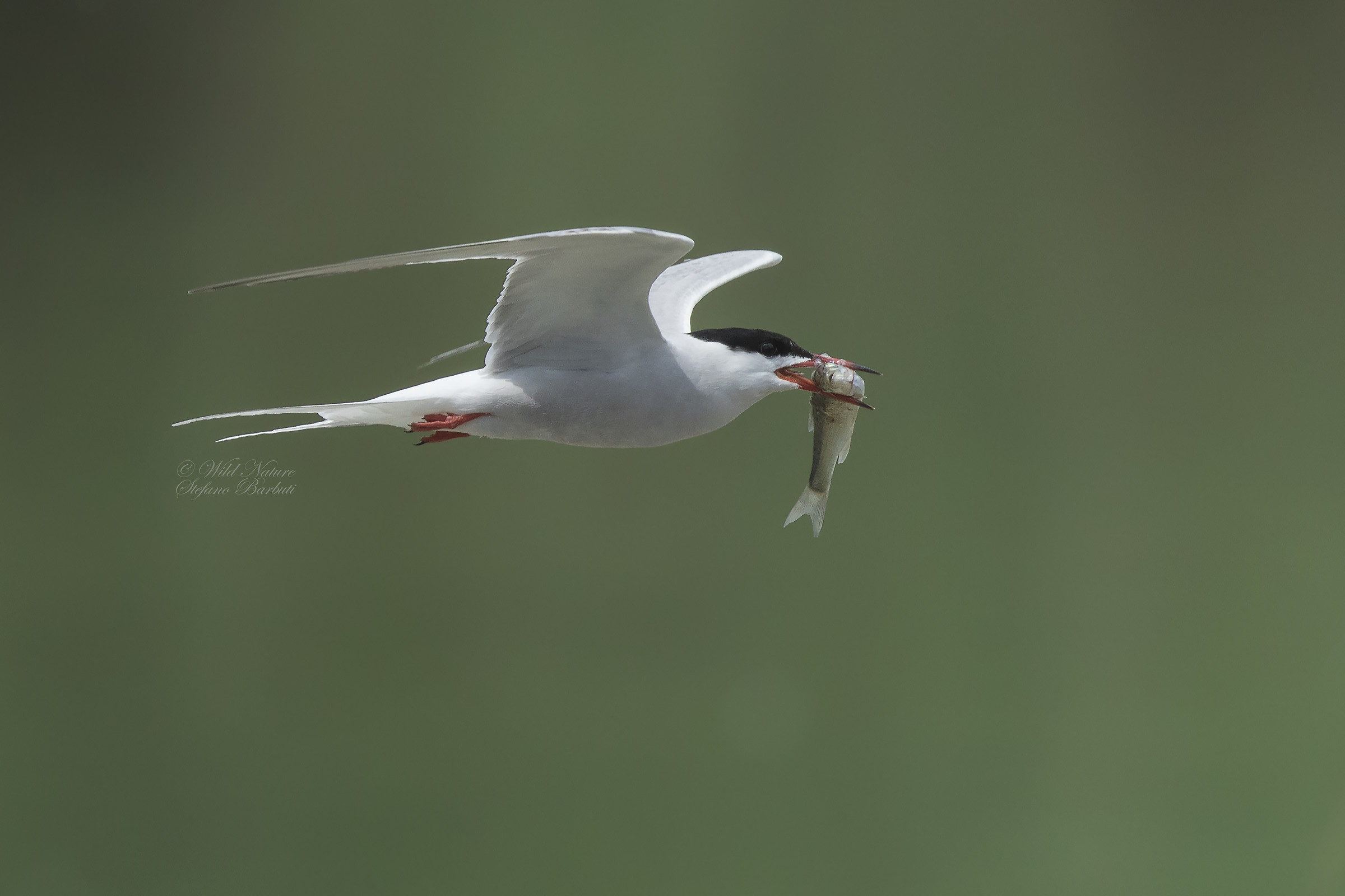 Tern in hunting...