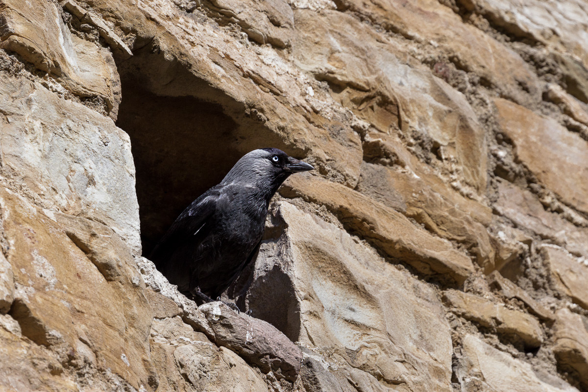 Taccola (Corvus monedula)......