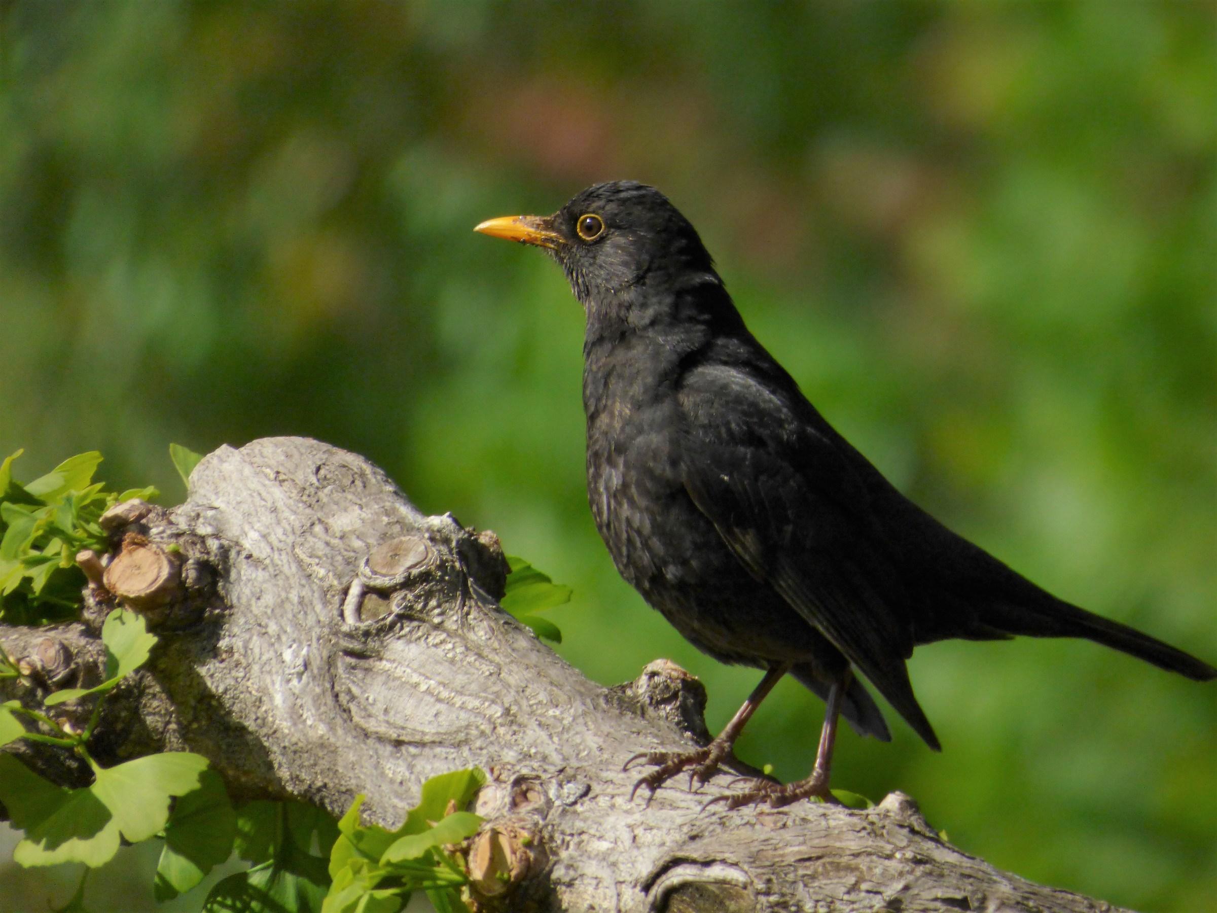 blackbird male...