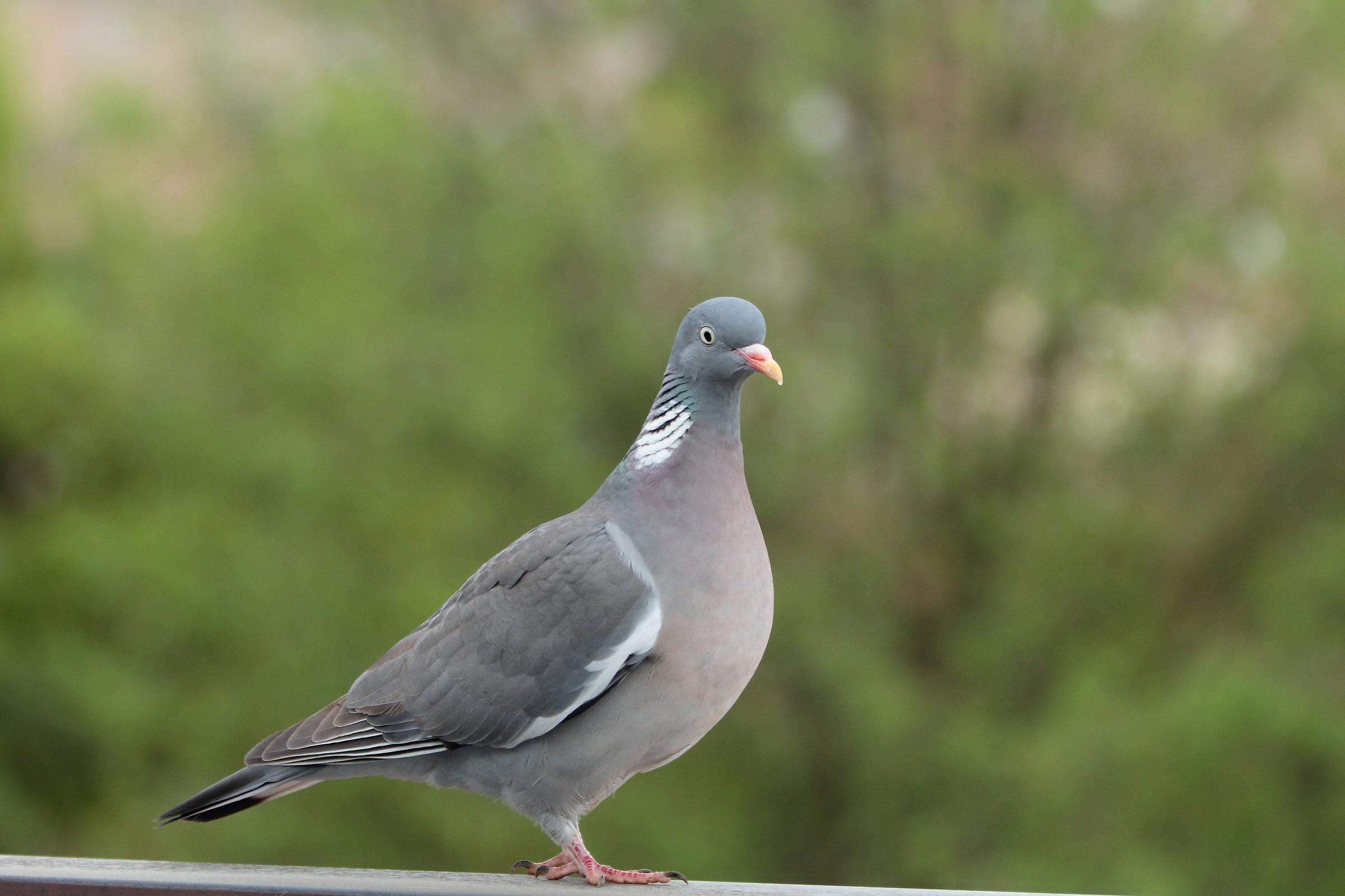 wood pigeon...