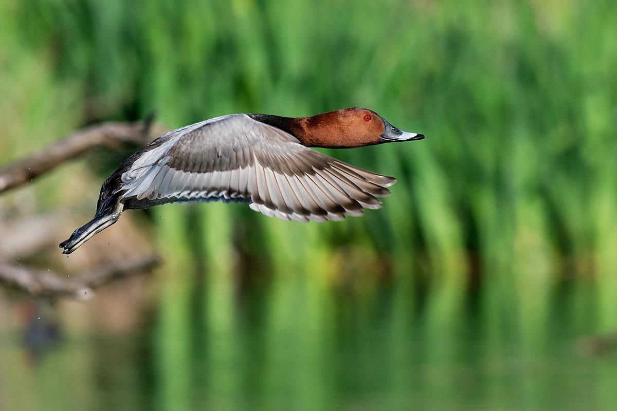 Pochard in flight...