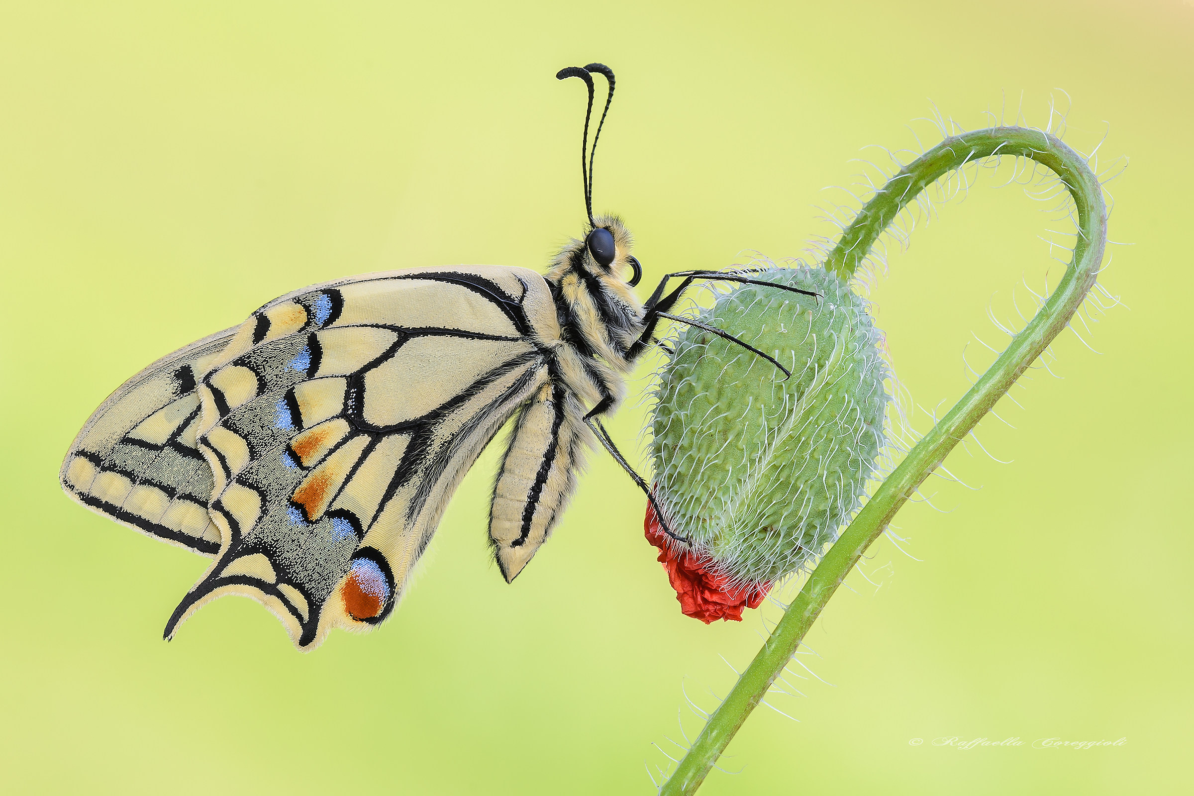 A special Papilio...