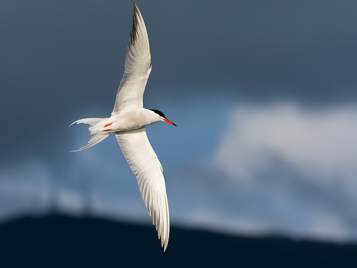Tern in flight...