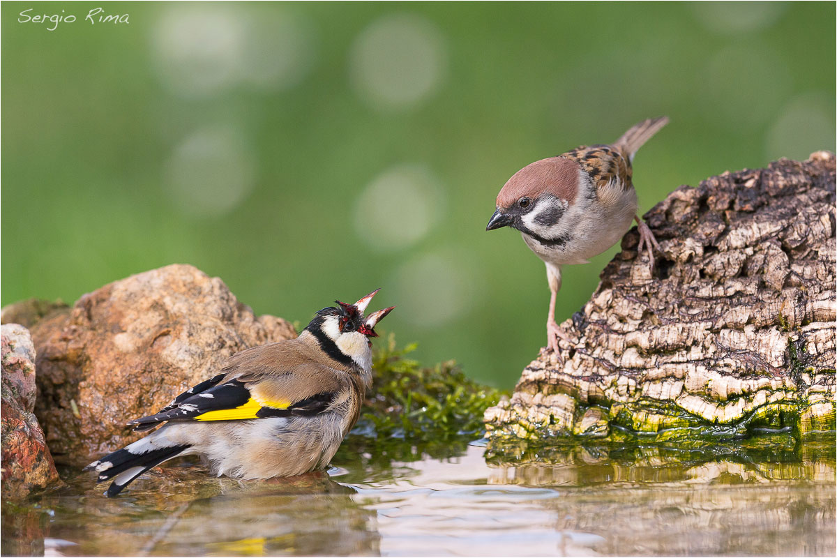 Goldfinch and tree sparrow...