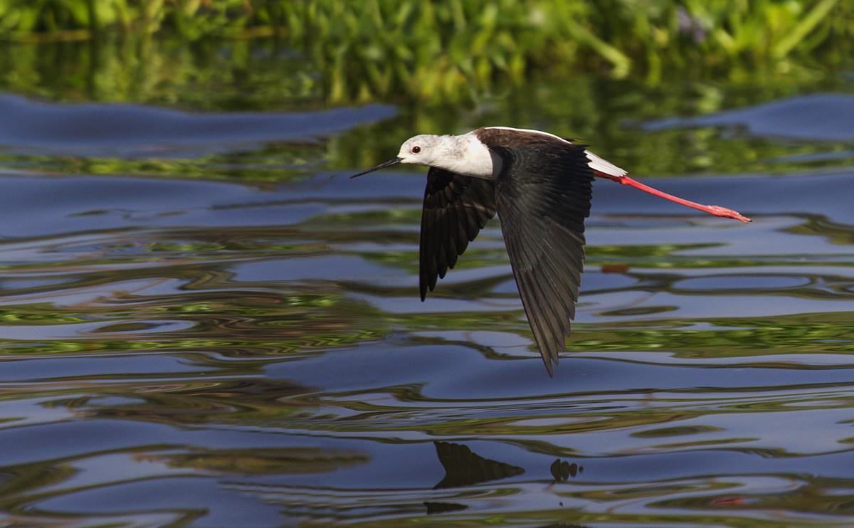 Black-winged stilt in flight....