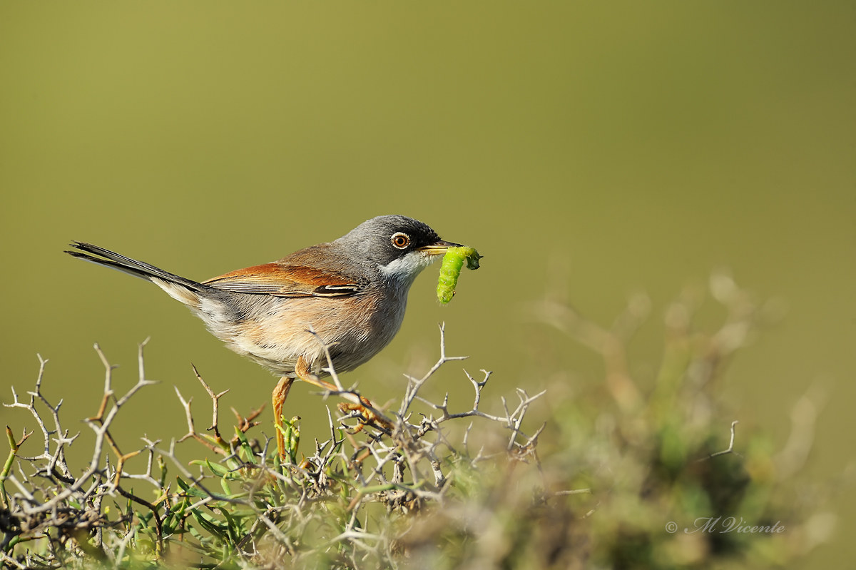 Spectacled Warbler...