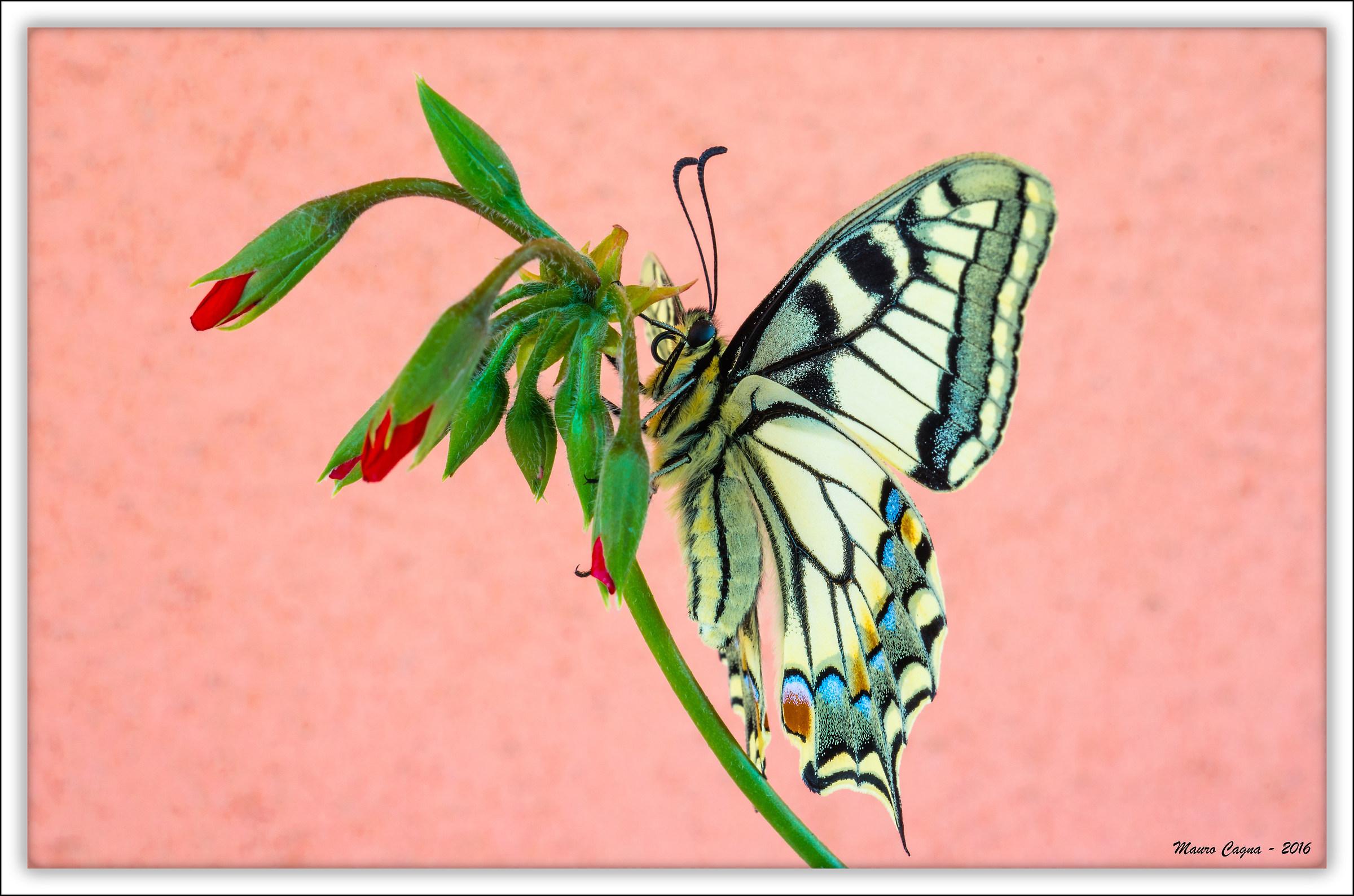 Papilio machaon su boccioli di gerani...