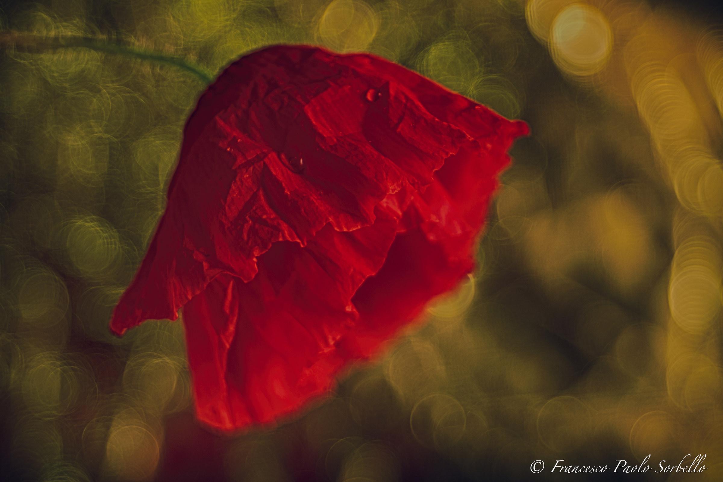 golden poppy...