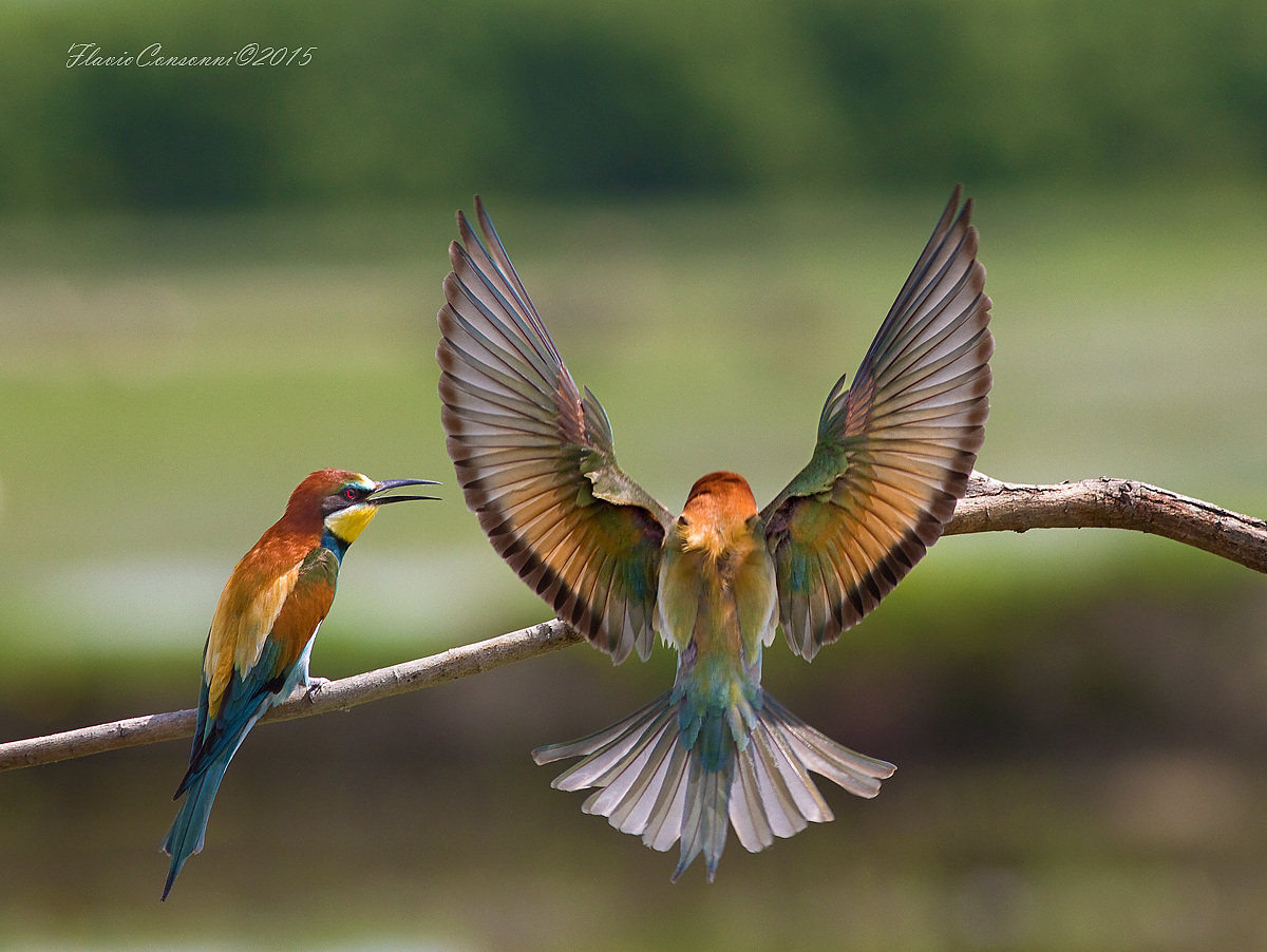 The Bee-eater wings...