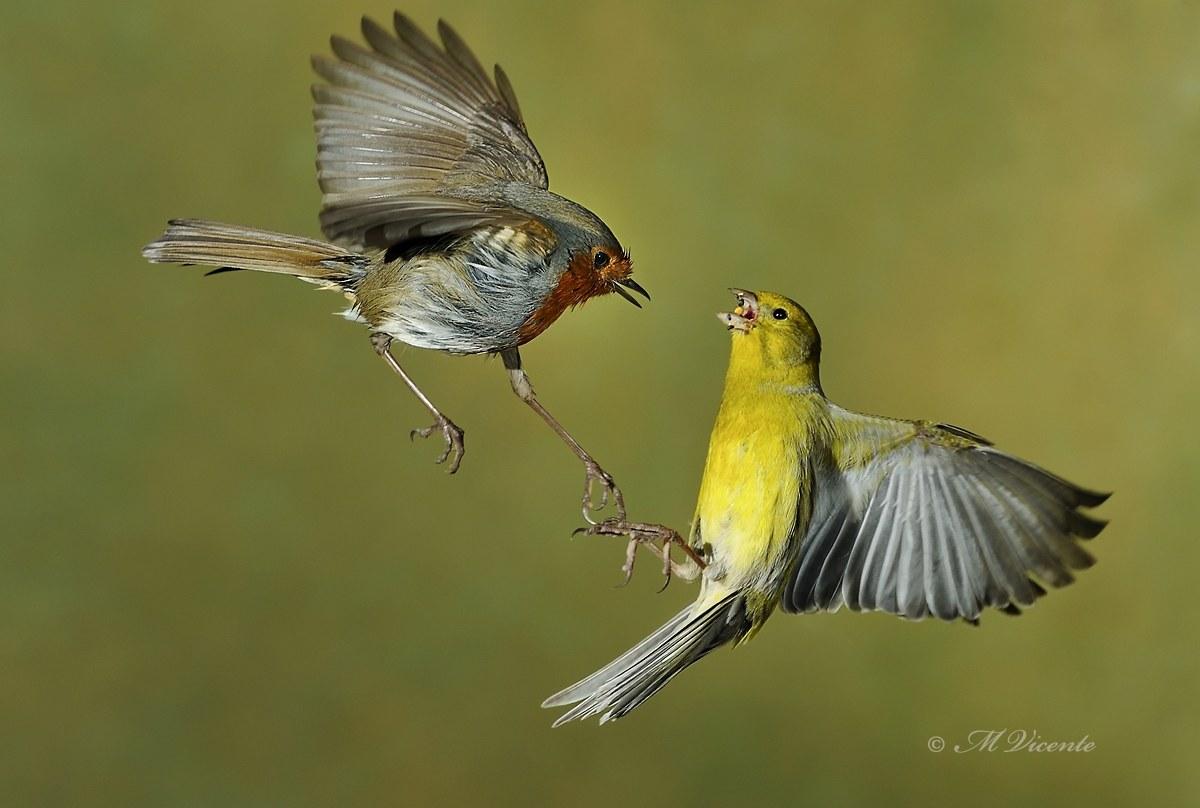 Robin & lotta canarino...