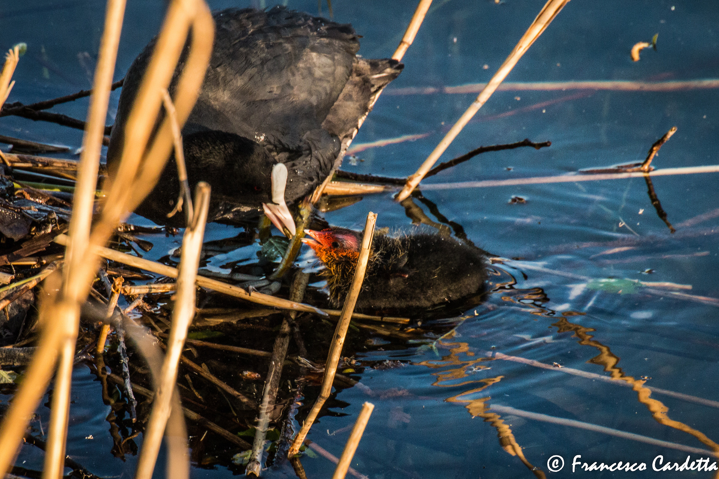 A nest, a coot and her cub...