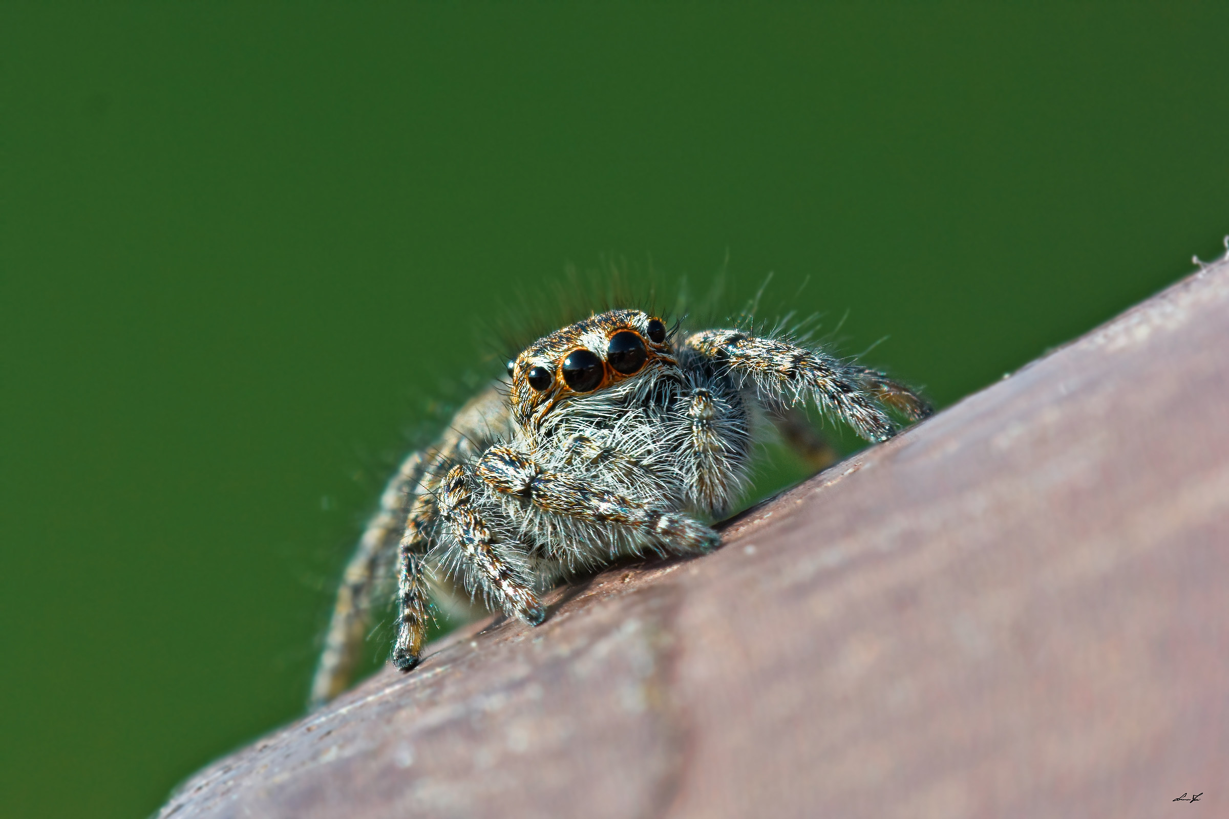 But it is a cross between a spider and a tiger?...