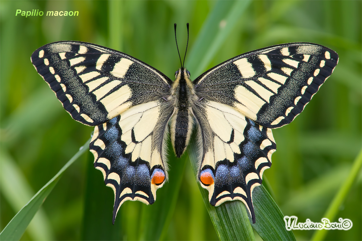 Swallowtail (Papilio machaon)...
