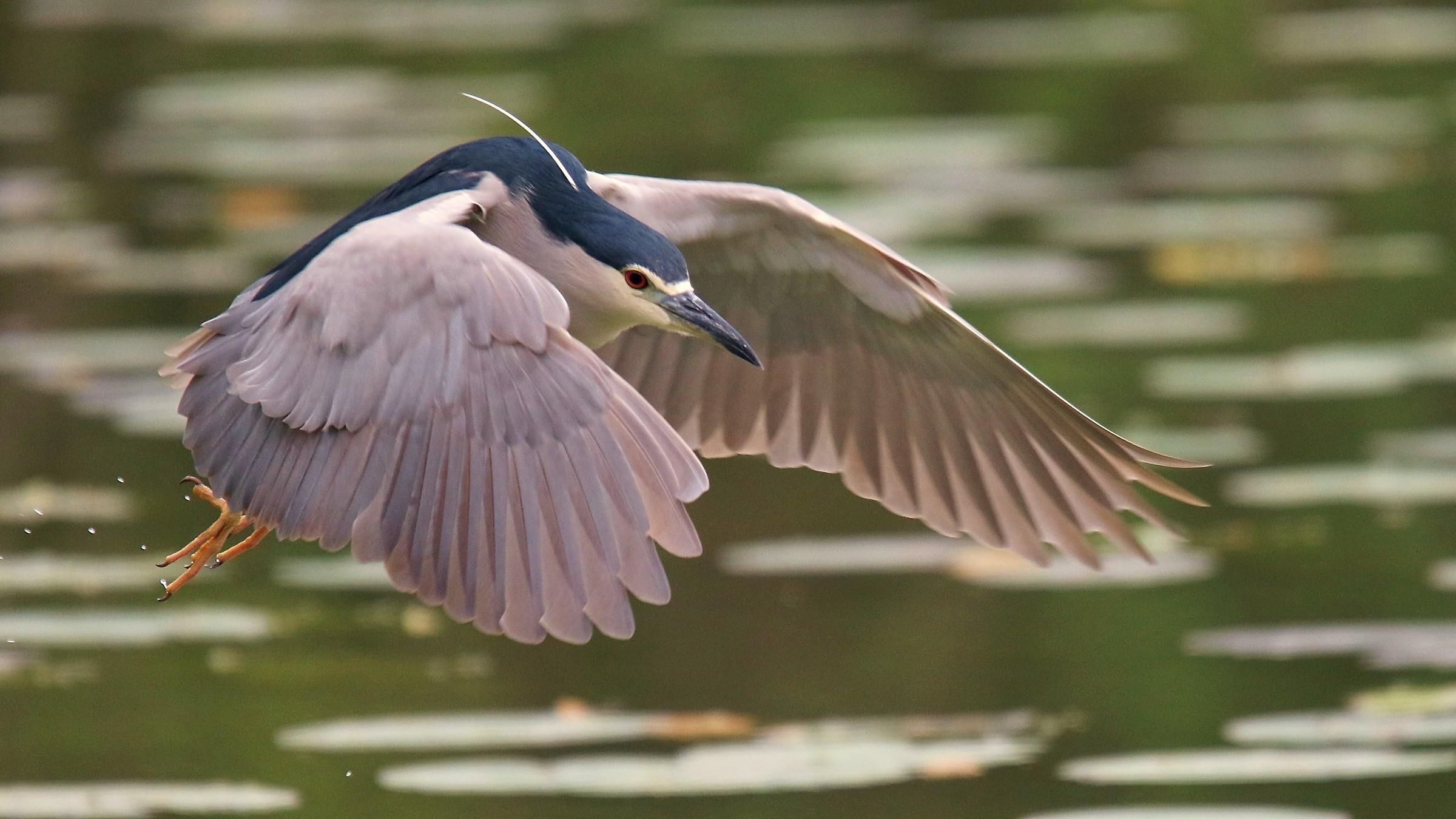 Night Heron in flight...