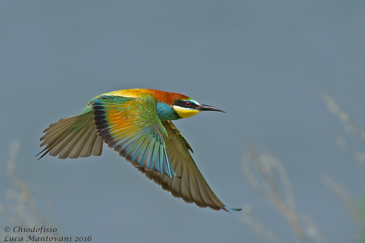 Bee-eater hunting...