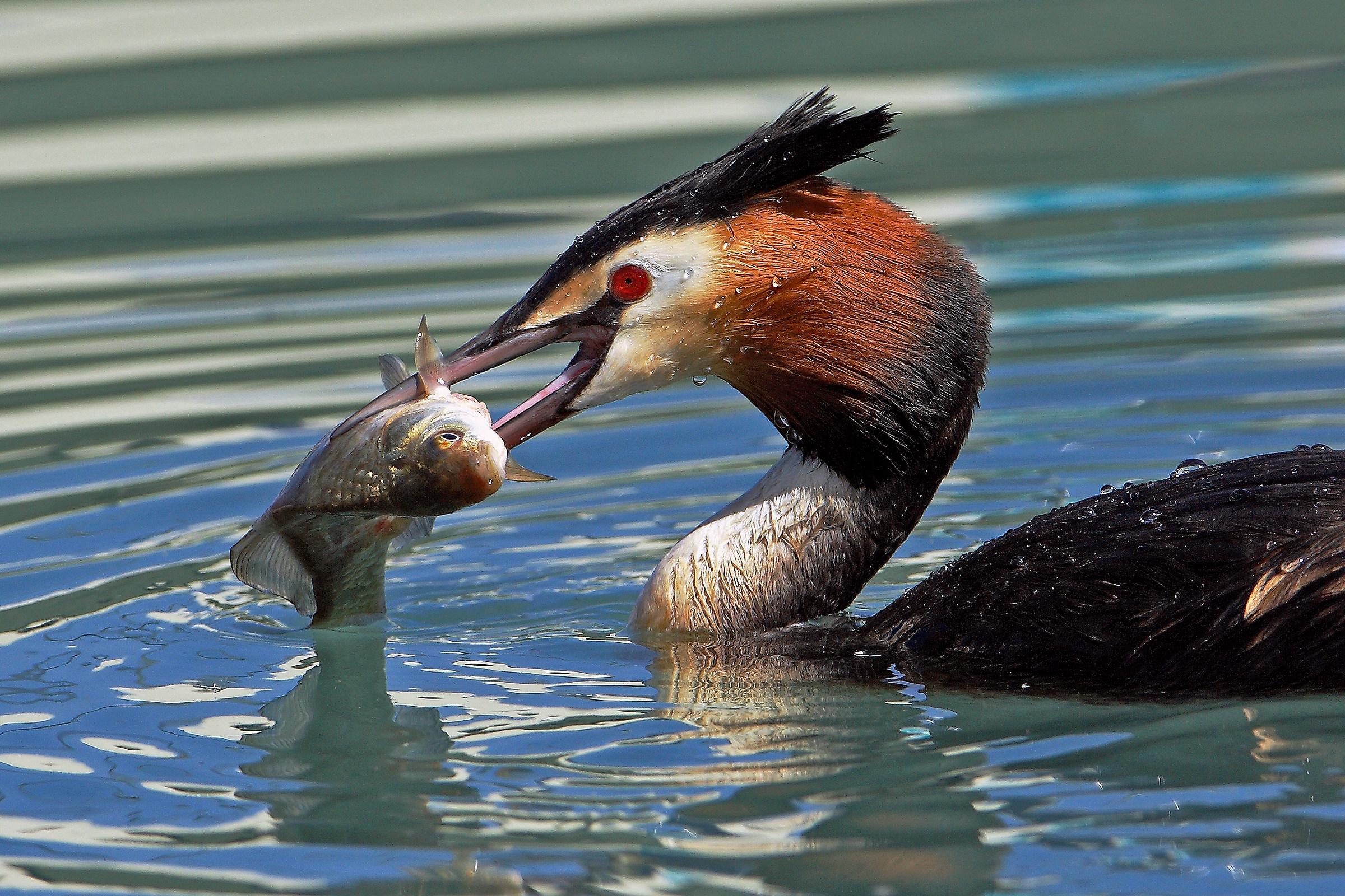 Grebe greedy - Lake Garda -...