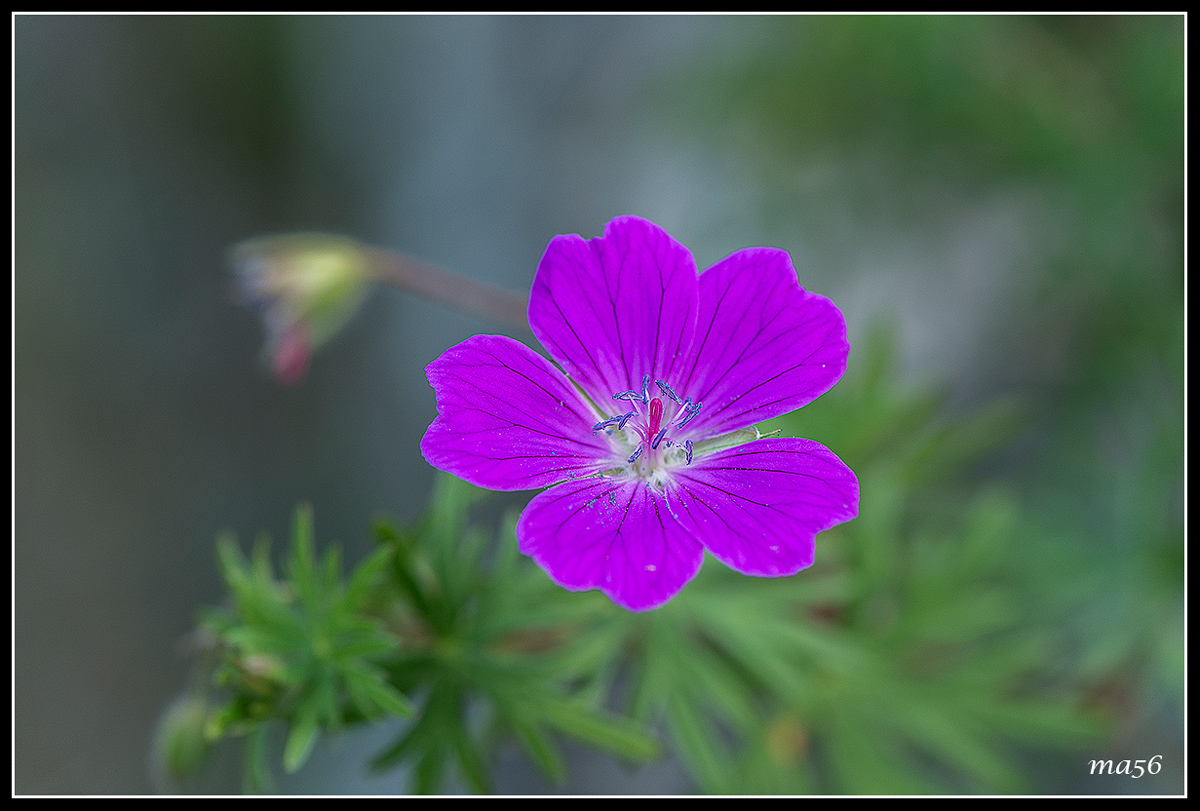 Geranium sylvaticum...