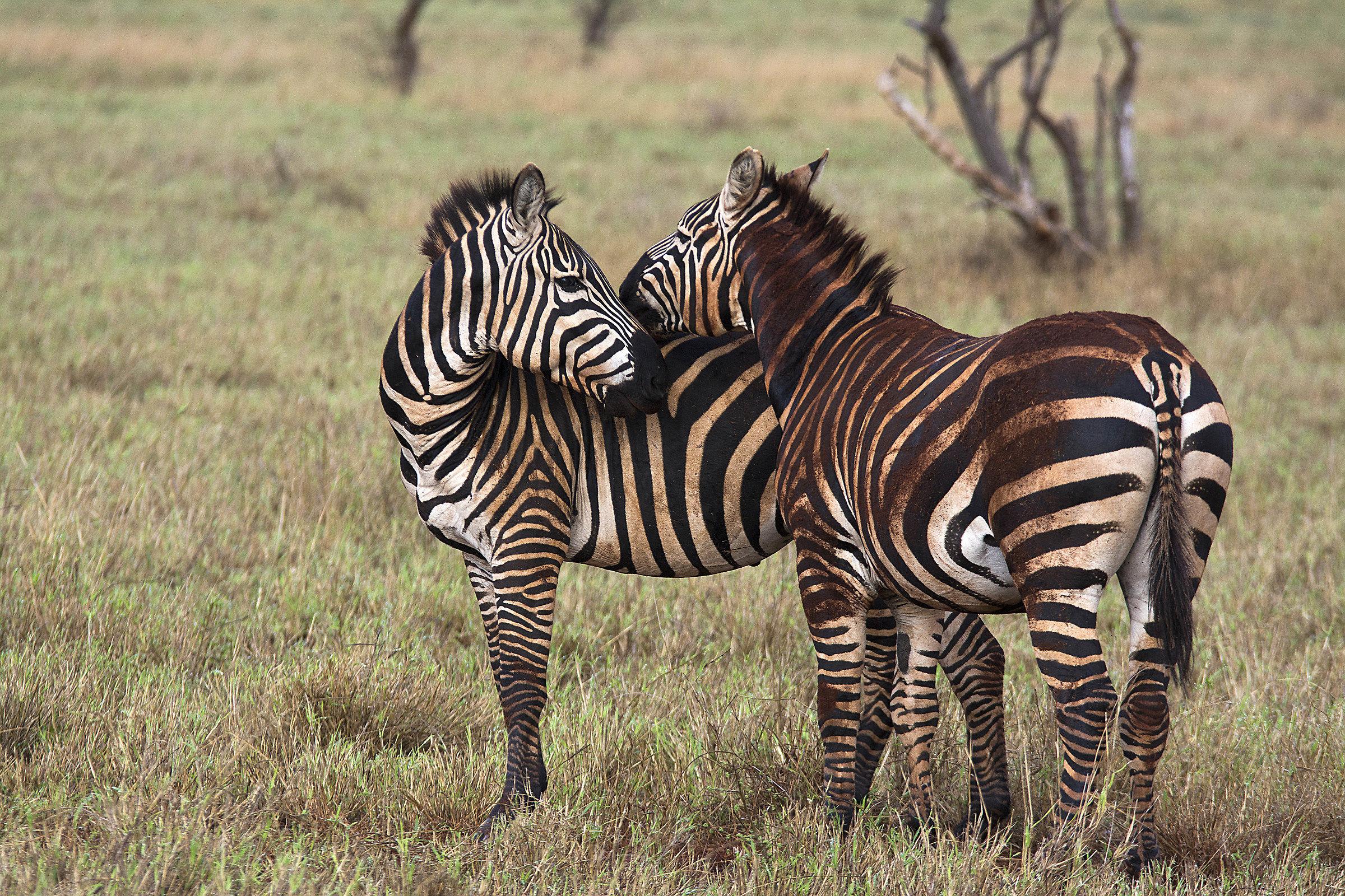 Zebras in Taita Hills...