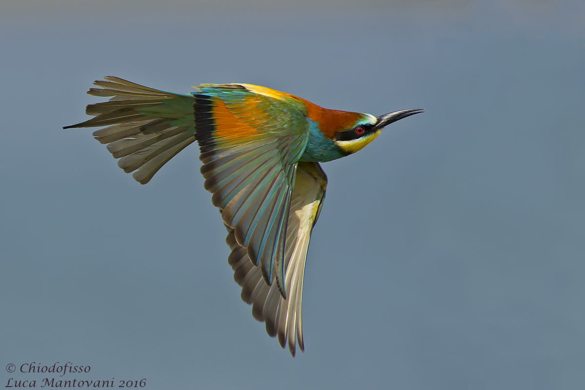 Bee-eater in search of prey...
