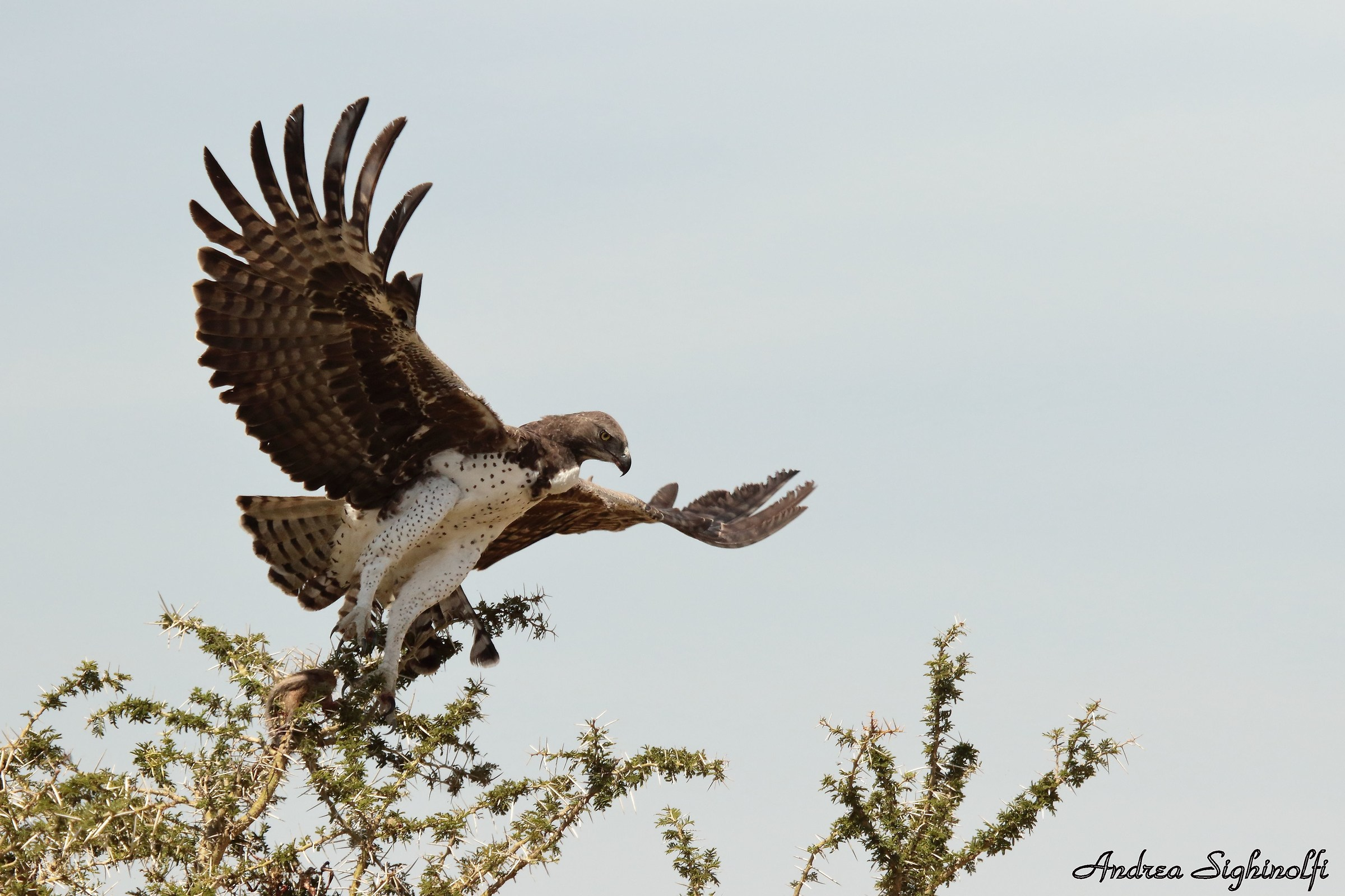 Martial Eagle taking off...