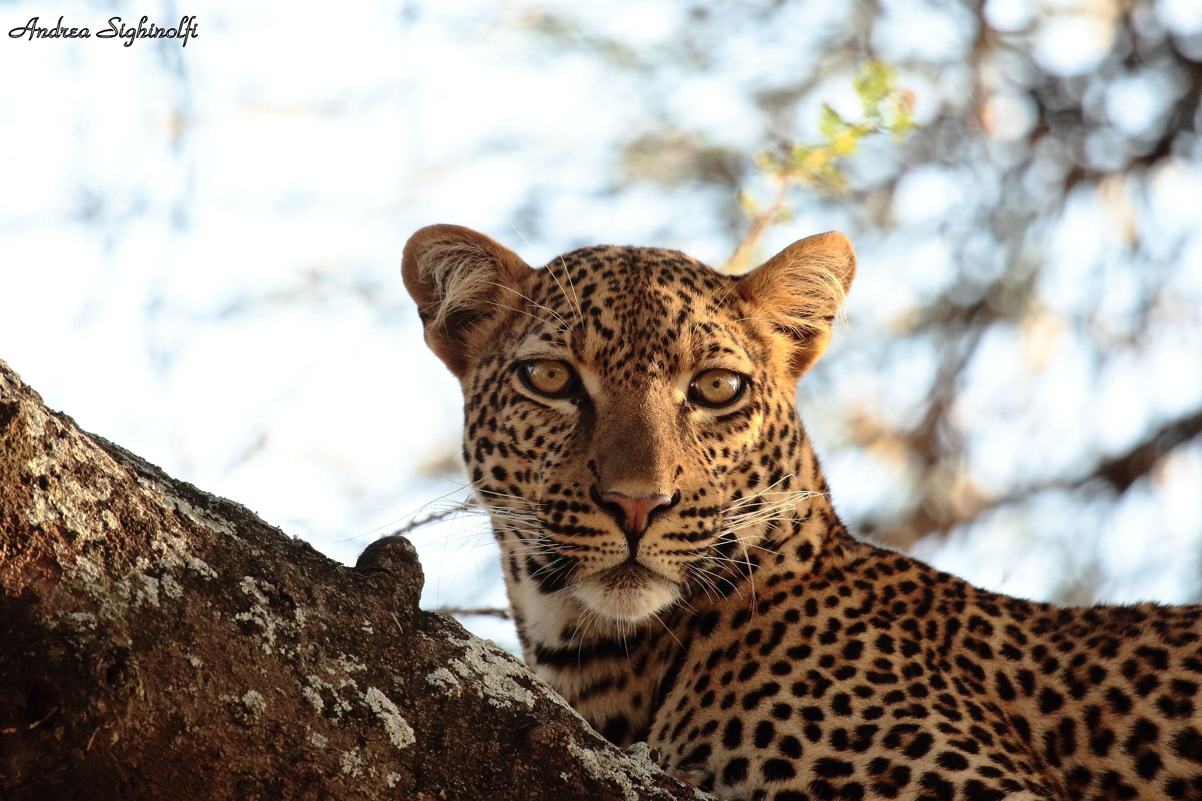 Portrait Leopardesco...
