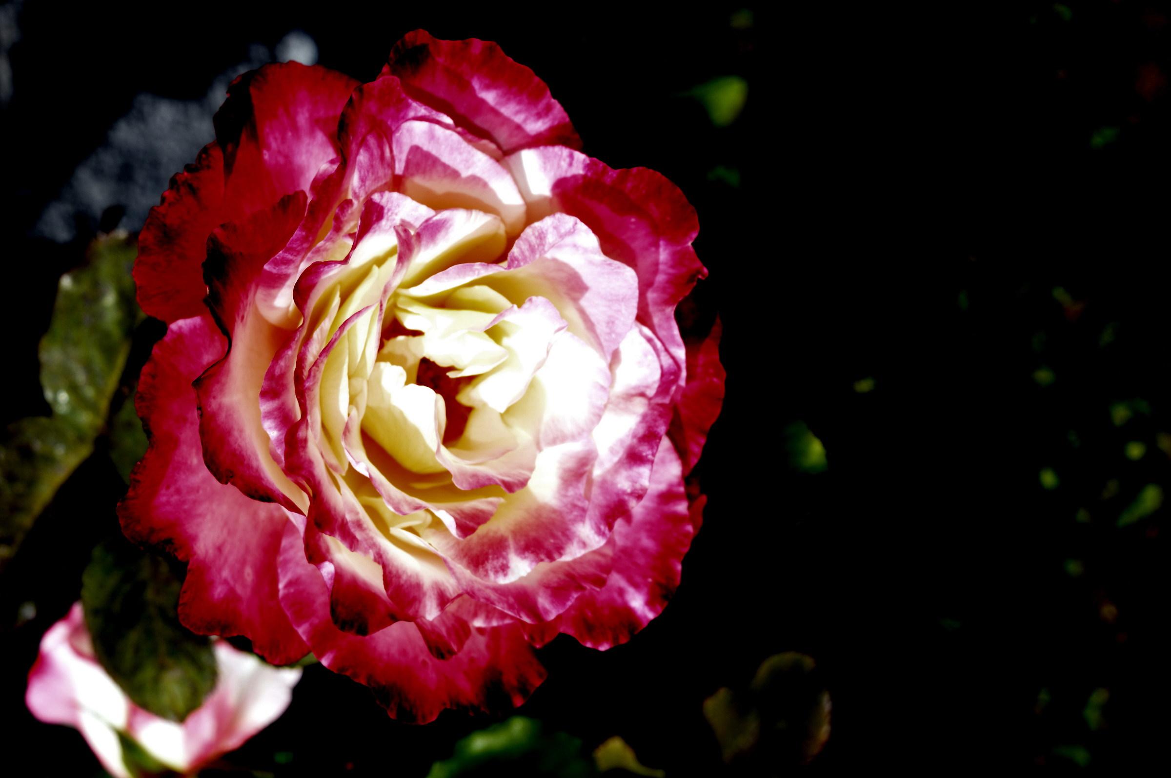 carnation flower...