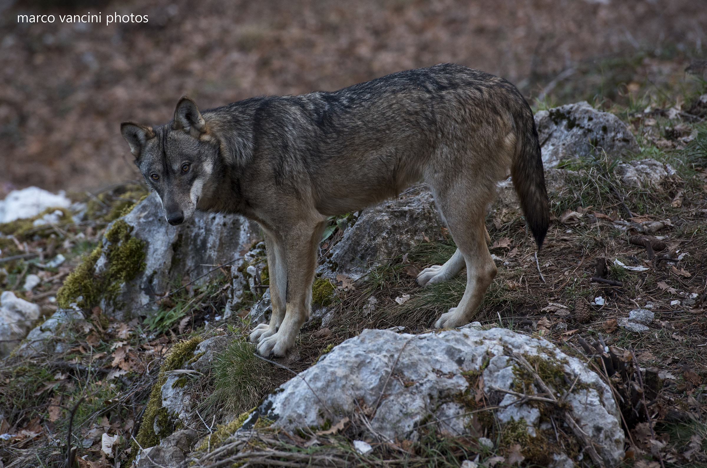 The wolf of the Apennines...