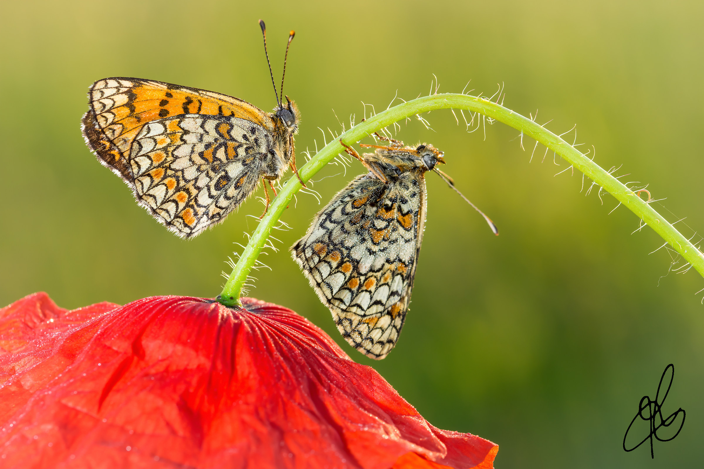 Poppies and butterflies ... !!!...