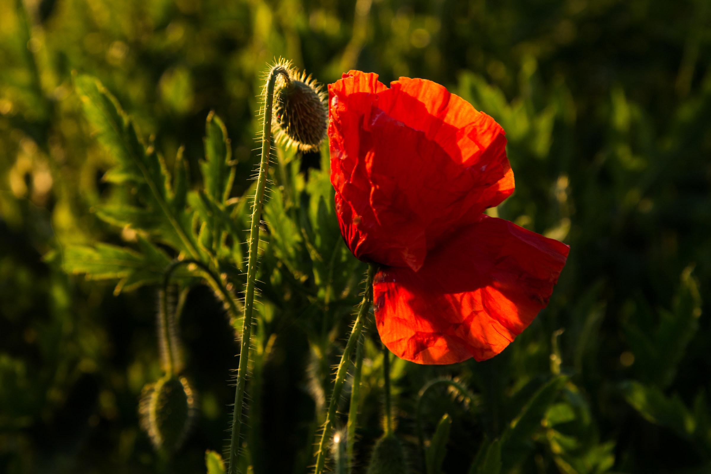 Poppy backlit...
