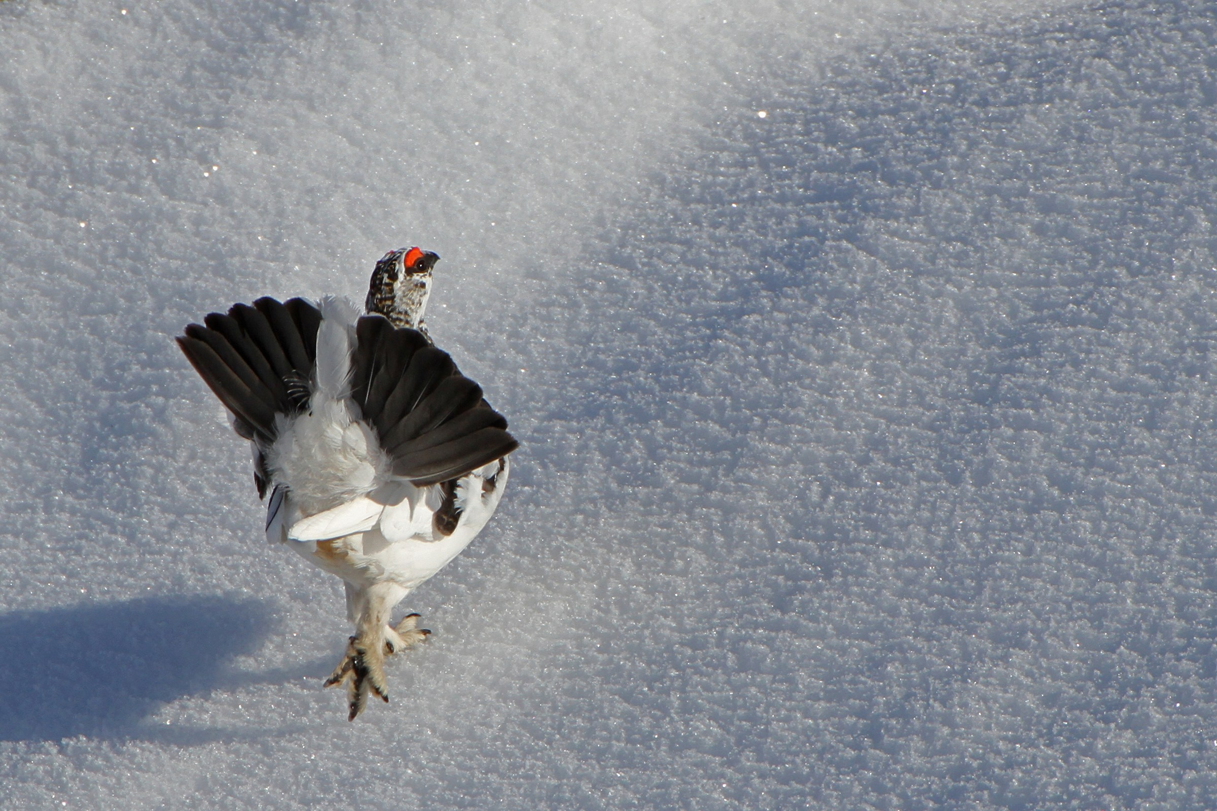 The parade ptarmigan - Dolomites...