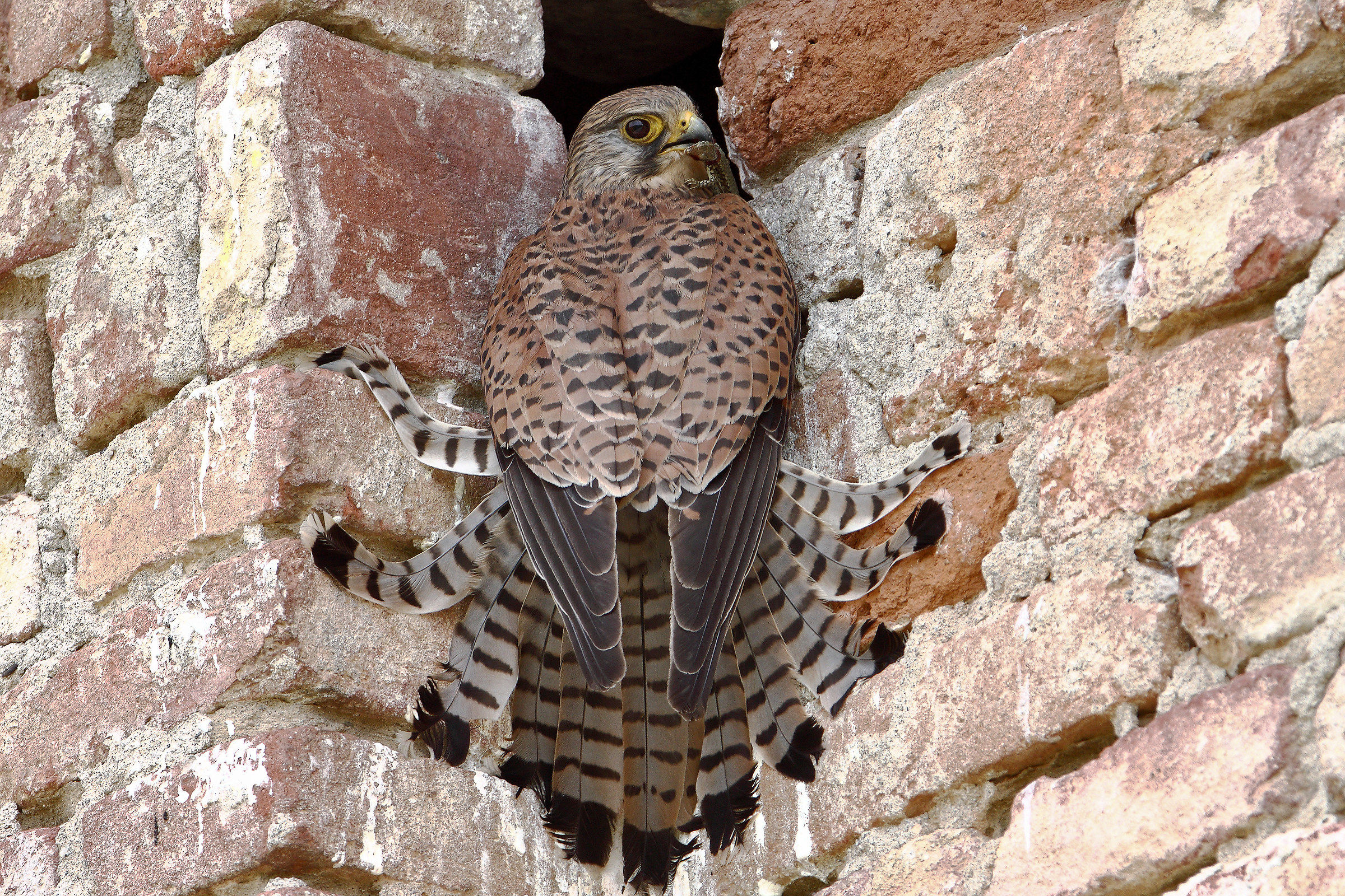 dad kestrel...