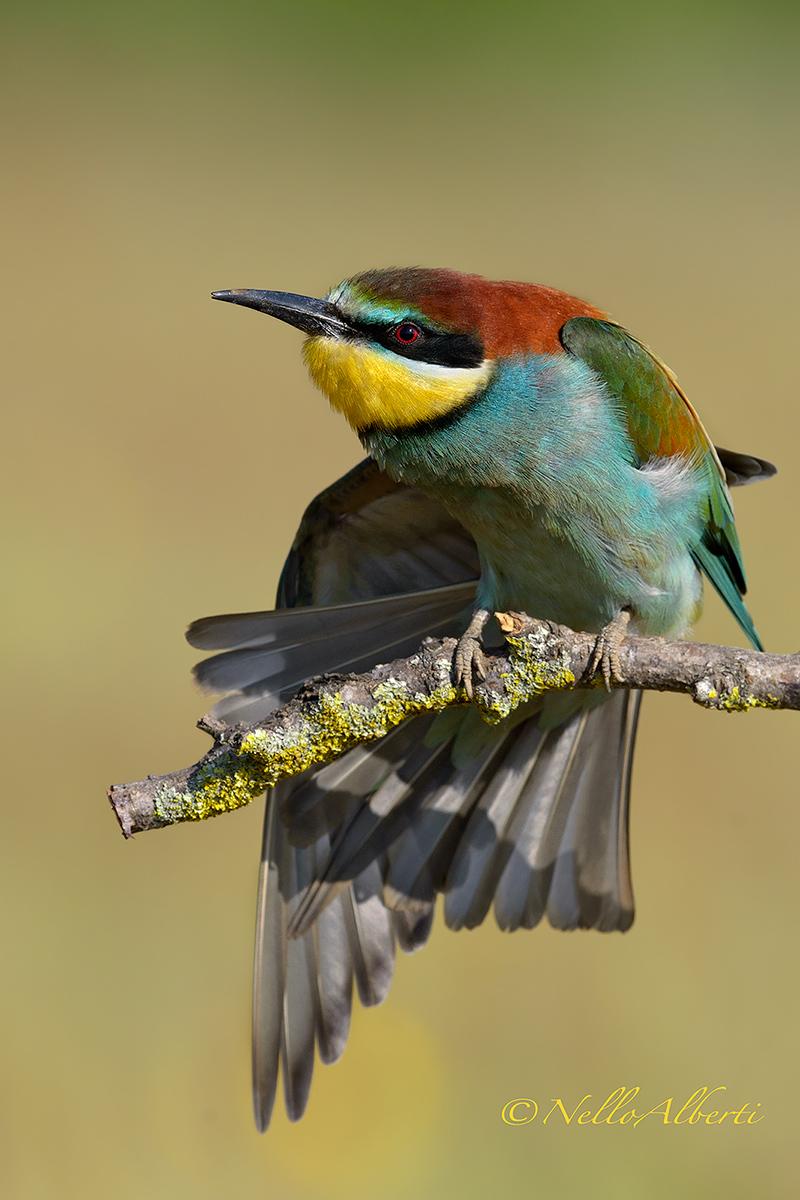 a stiratina wings...