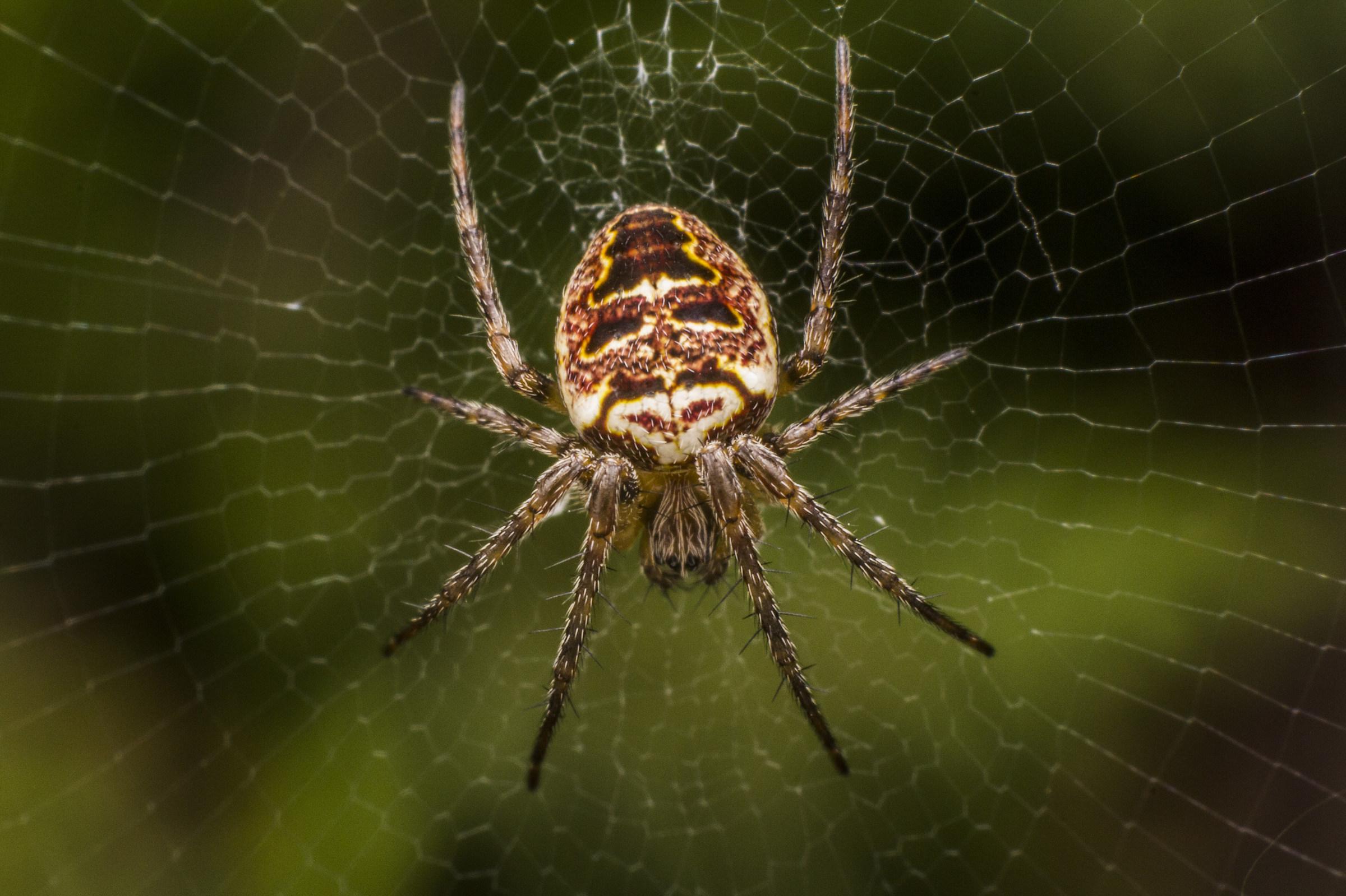 Spider Canvas (Zilla Diodia)...