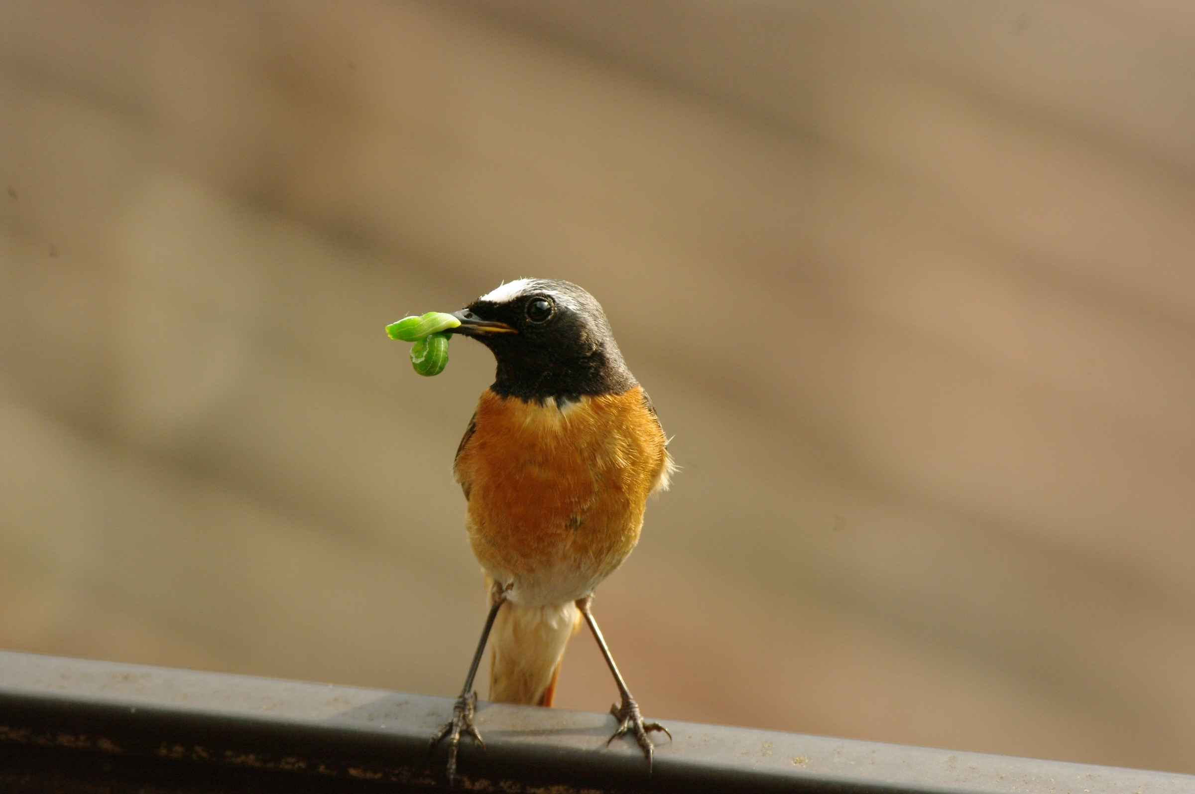 Codirosso (Phoenicurus phoenicurus)...