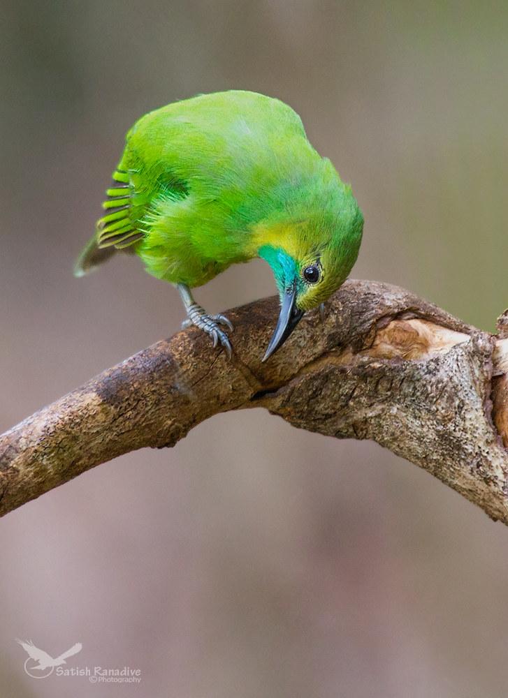 Jerdon's Leafbird, female....