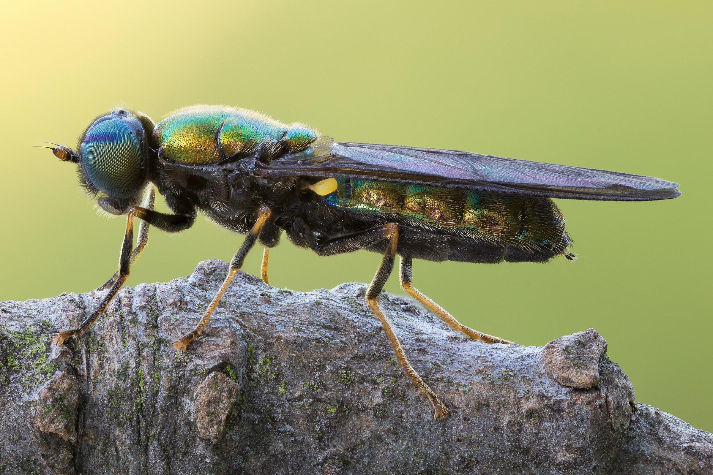 Chloromyia formosa...