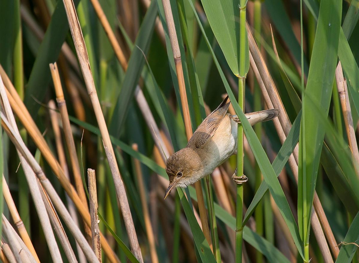 reed warbler...