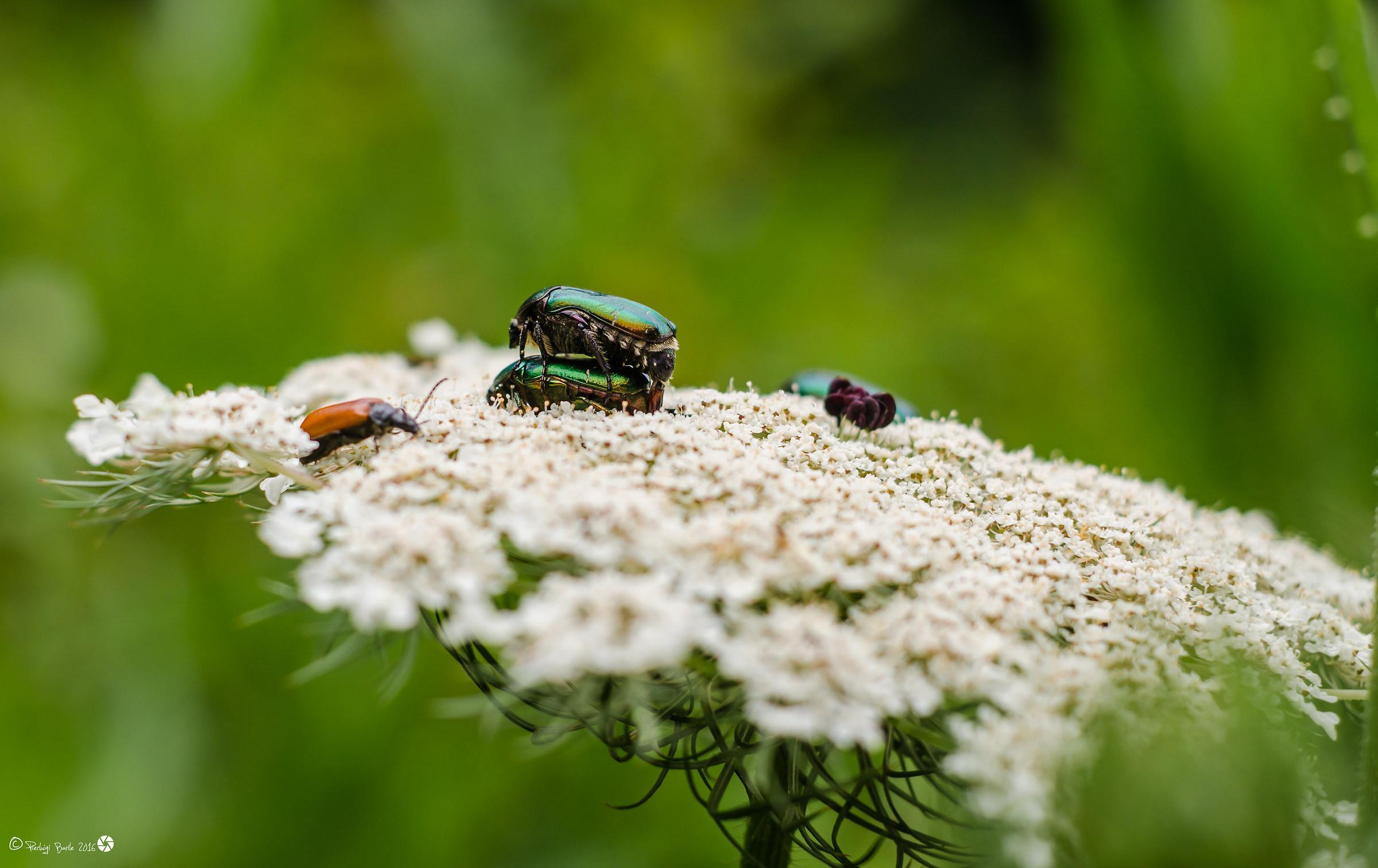Beetles...